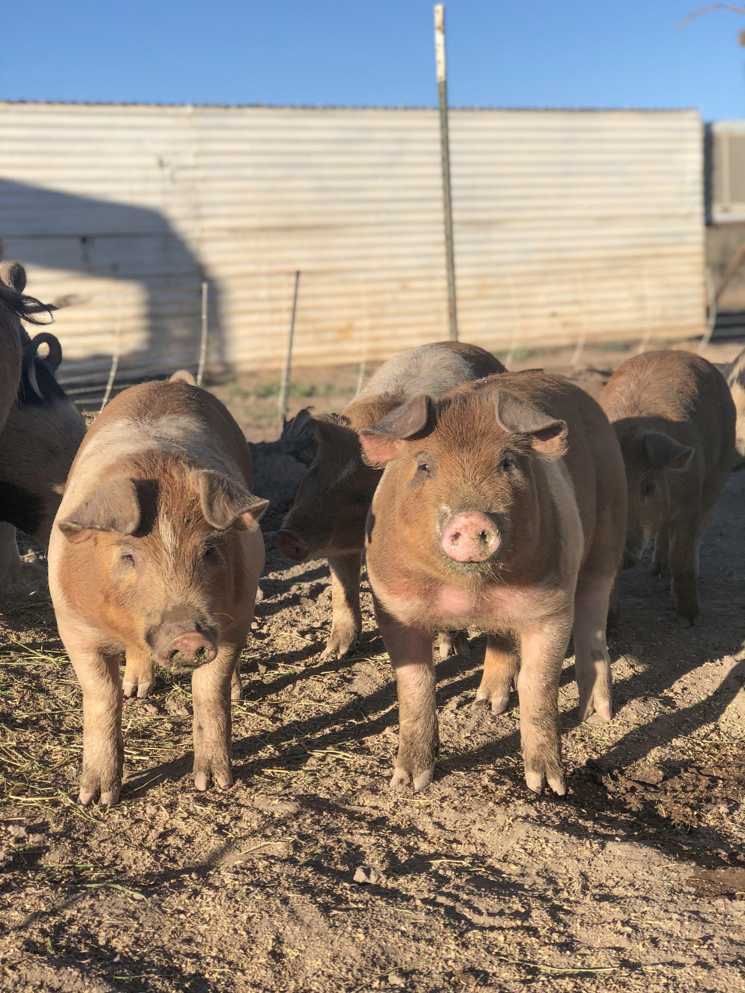 grower-pigs.JPG