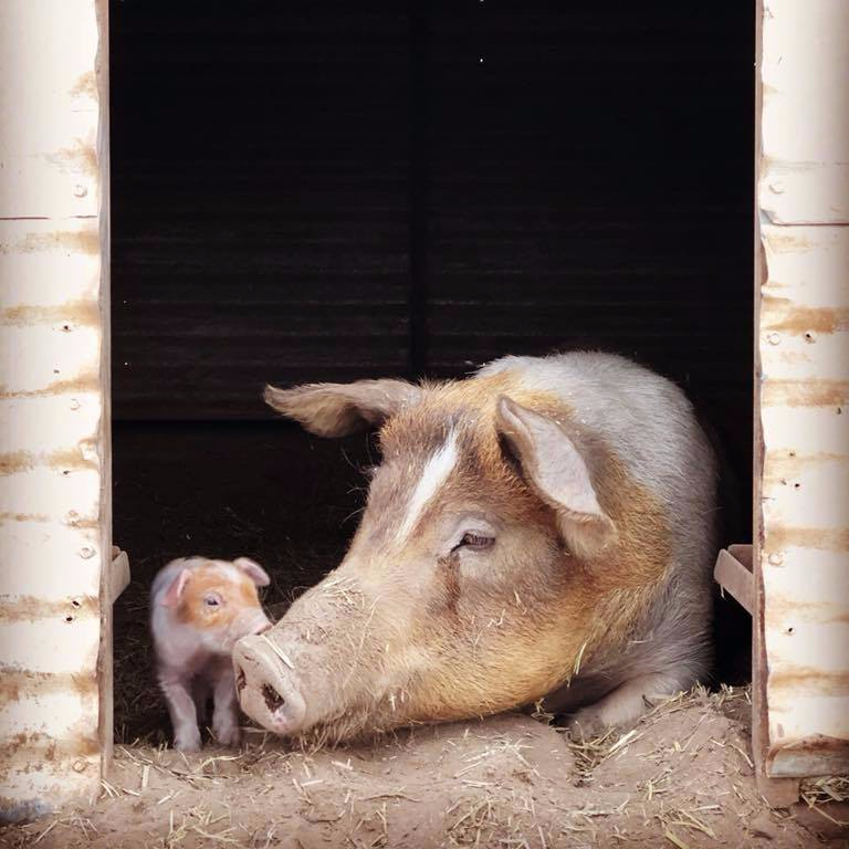 sow-with-piglet.jpg