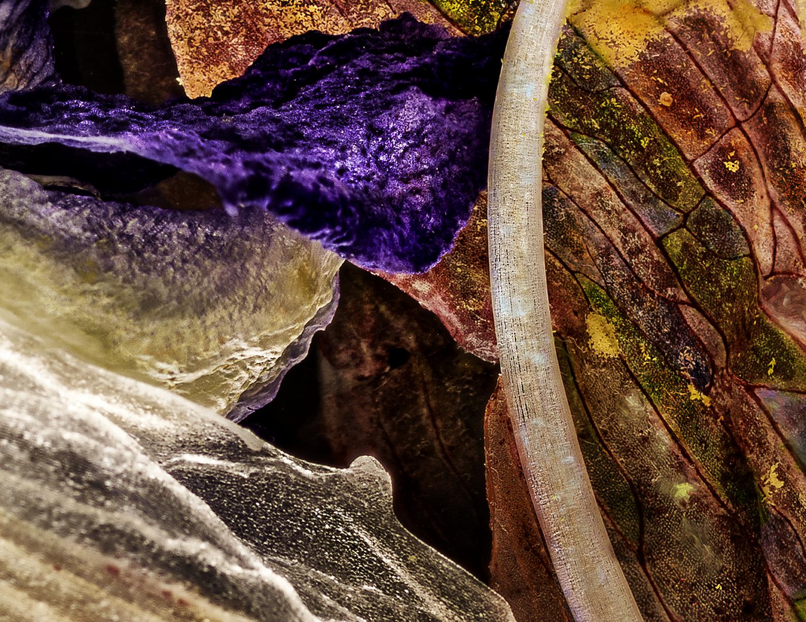 Amaryllis Pansy Rose 02232018
