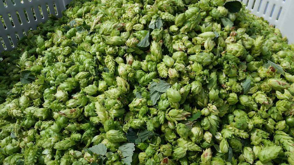 - it's all in the hops