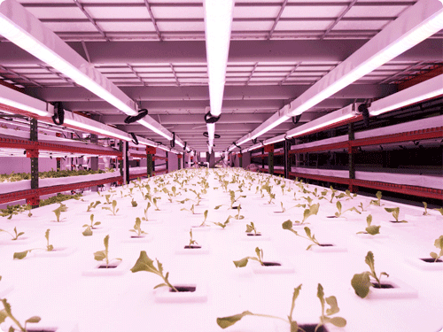 Energy efficient - Simply put, vertical farming is the conversion of electrons to calories. With a best-in-class energy efficiency yield (60g–70g of product produced per kWh of electricity), we use patented technology and systematic planning and decision-making processes to precisely estimate and monitor the energy required to satisfy each gram of crop output, cutting down on wasted energy.
