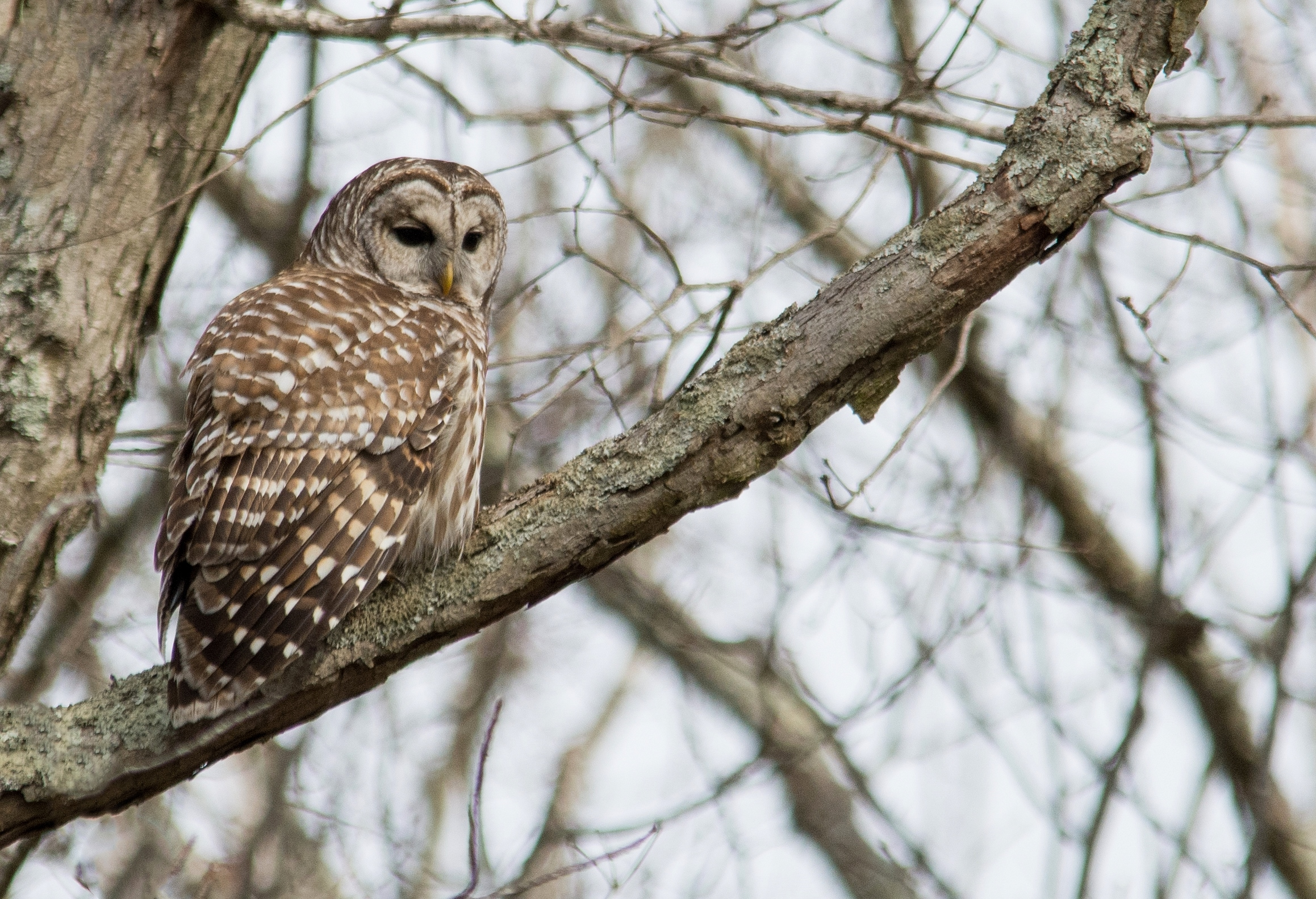 Barred Owl Dorchester Addicks 2-20-16.jpg