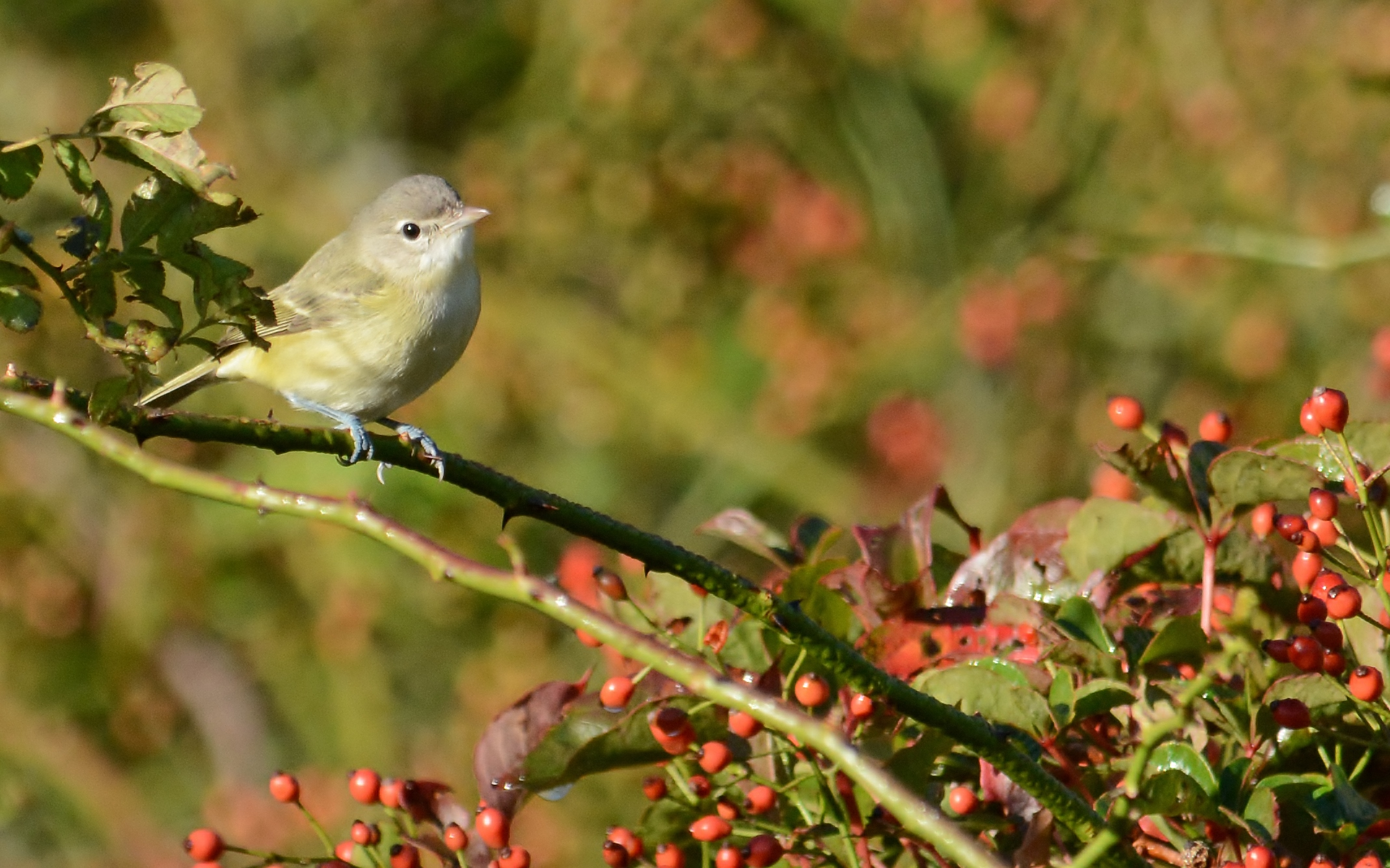 Bell's Vireo Cape May Addicks 10-11-15.jpg