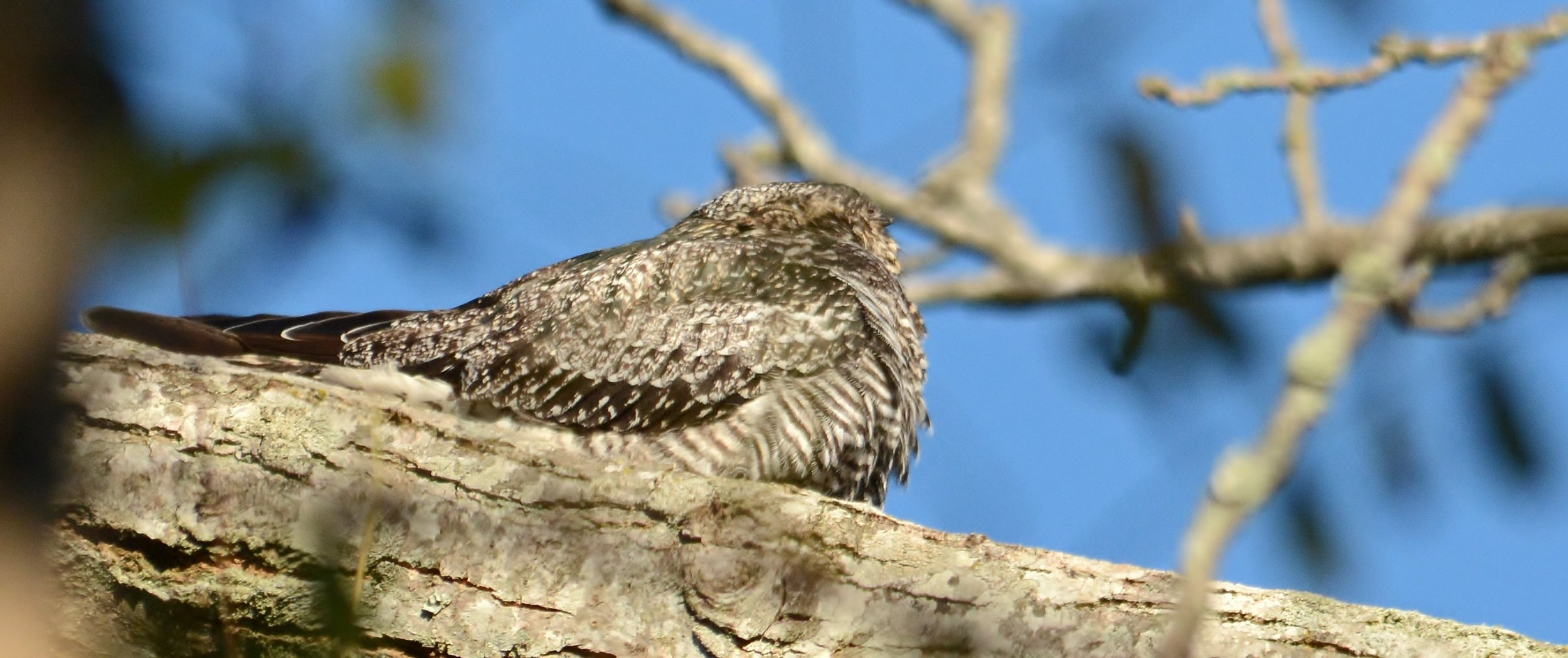Common Nighthawk Cape Addicks May 10-11-15.jpg
