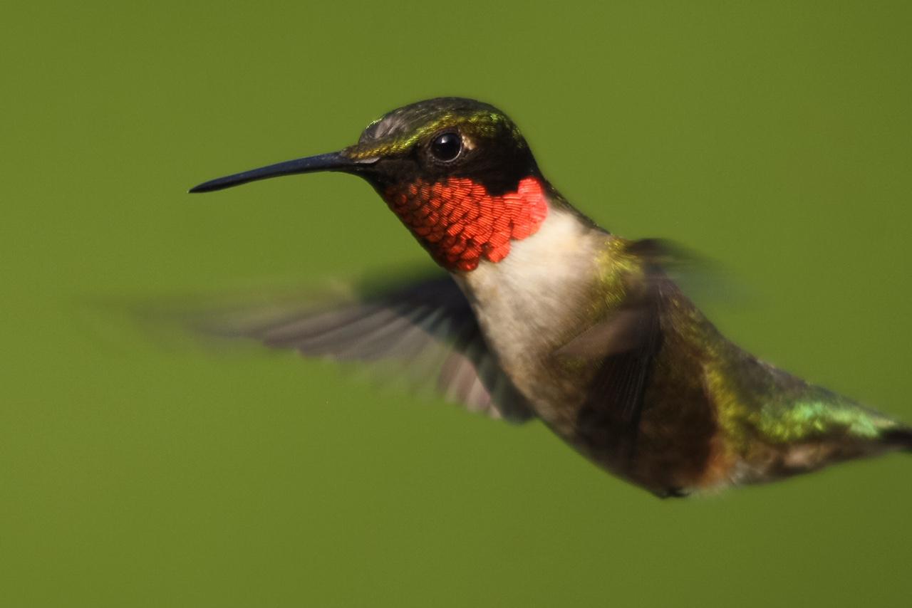 Ruby-throated Hummingbird - Kojo Baidoo