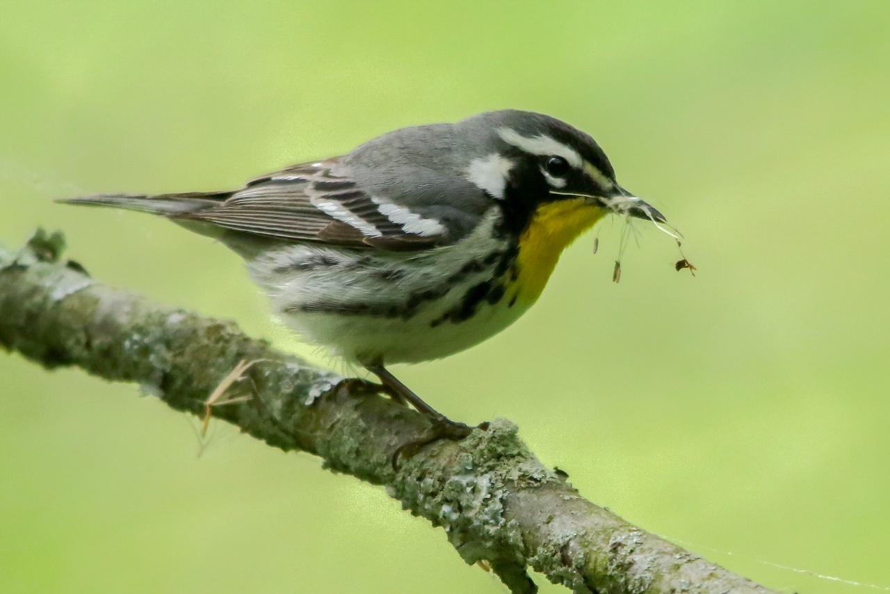 Yellow-throated Warbler - Kojo Baidoo