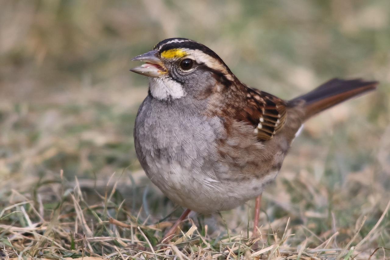 White-throated Sparrow - Kojo Baidoo