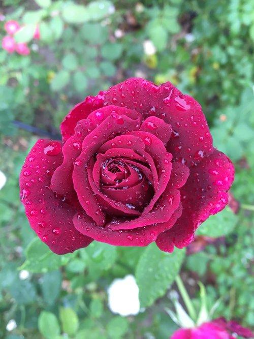 A Bulgarian rose