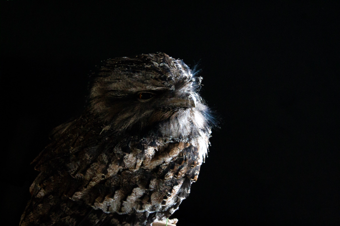 Tawny Frogmouth.png
