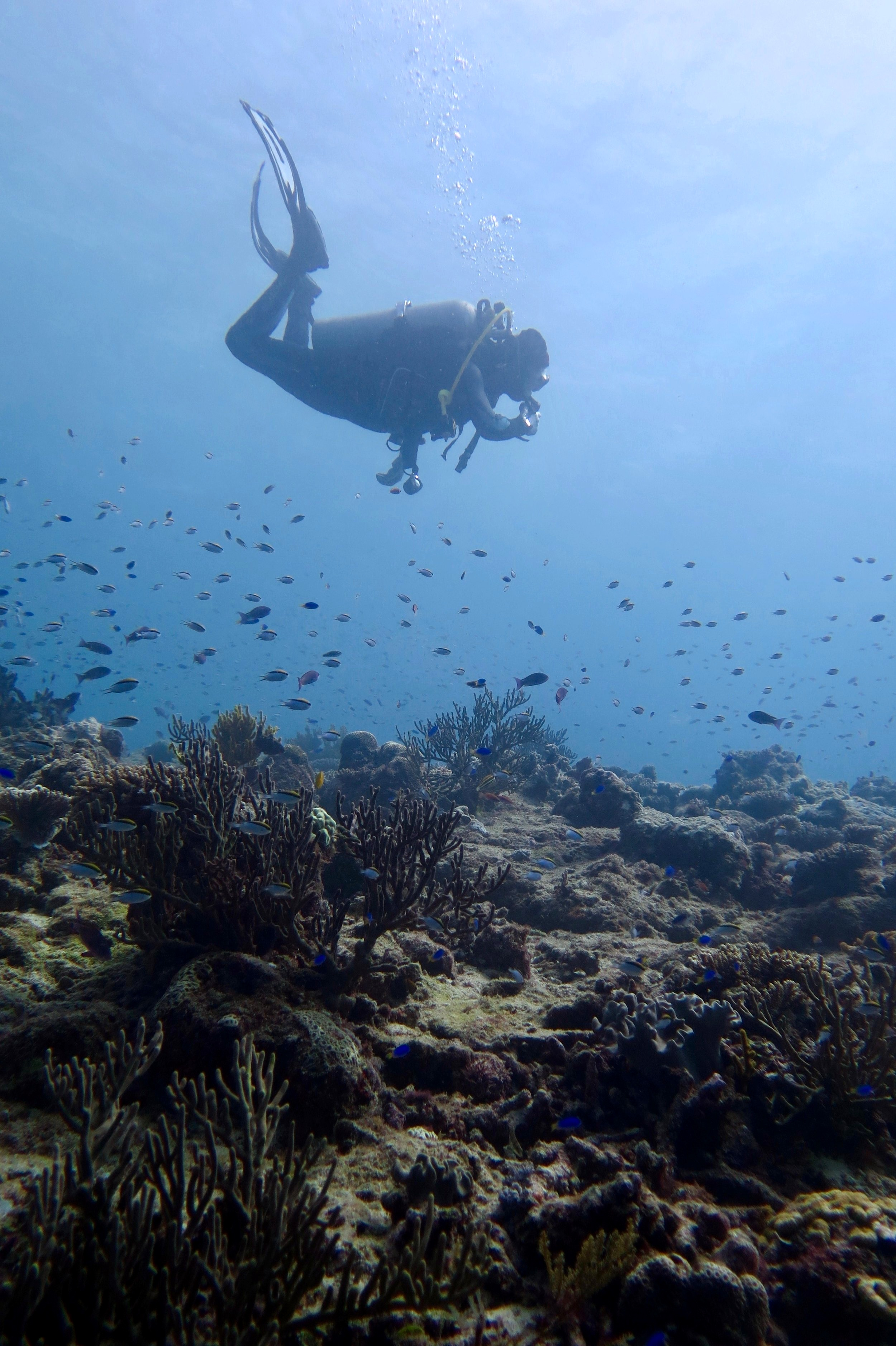 """Influence of the microbiome on climate resilience - We know that environmental changes have the capacity to affect changes in the coral microbiome. But can these changes be beneficial to the coral under climate change? Kiritimati, a coral atoll located in the central Pacific Ocean, was at the epicentre of the 2016 El Niño event that resulted in an unprecedented 10 months of heat stress. Using this """"natural experiment"""", my current work in the Baum Lab is to identify whether any changes in the coral microbiome are able to confer (or predict) coral survival. Learn More"""