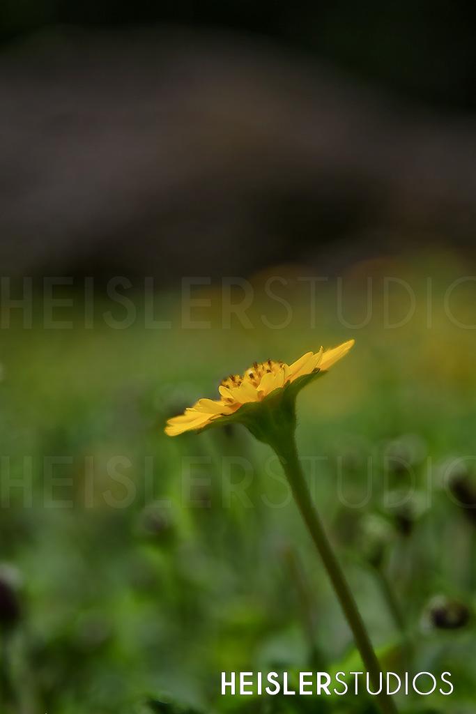LOGO-Dandelion-Flower.jpg