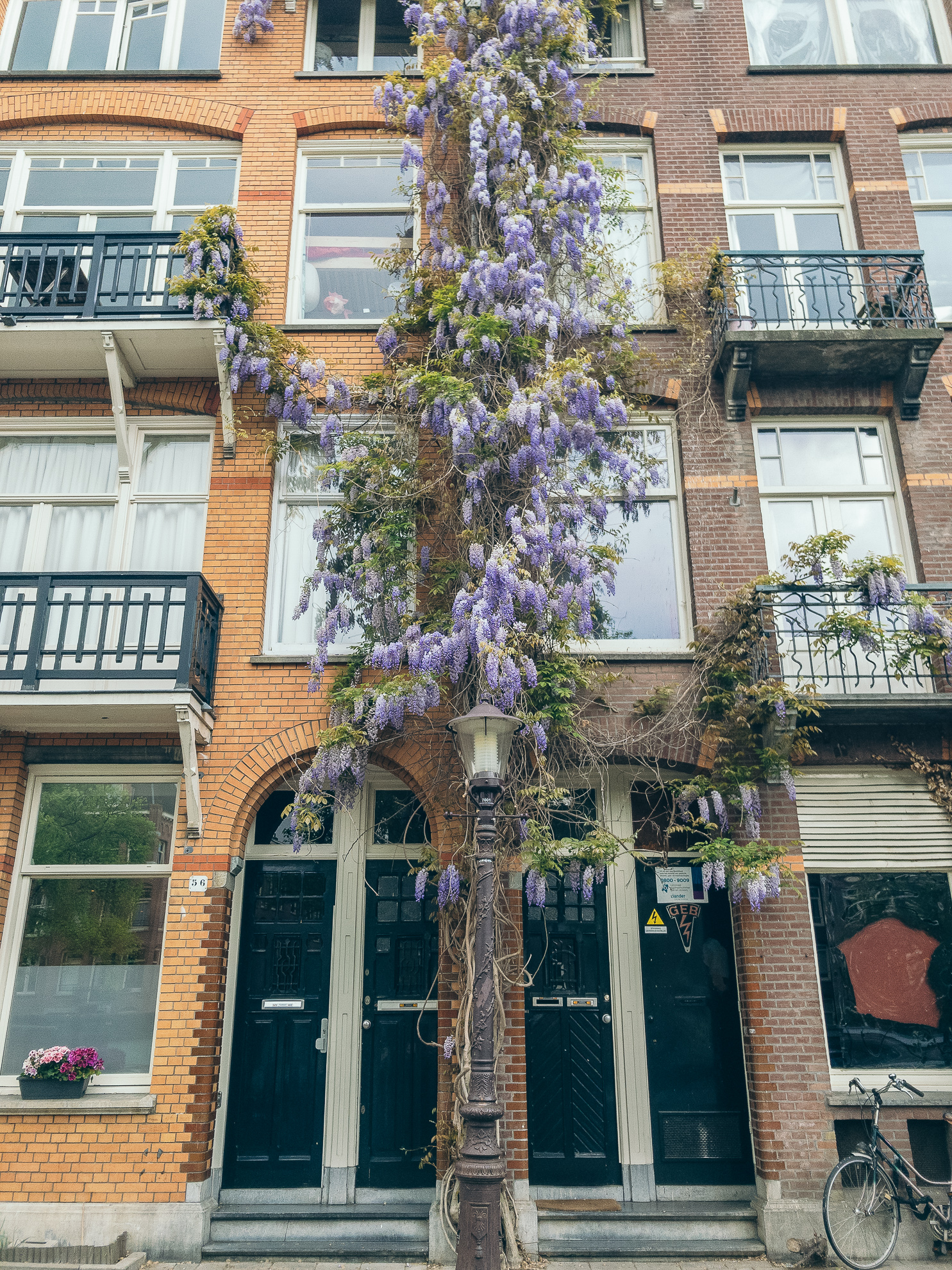 Amsterdam House Wisteria in Bloom Climbing.jpg