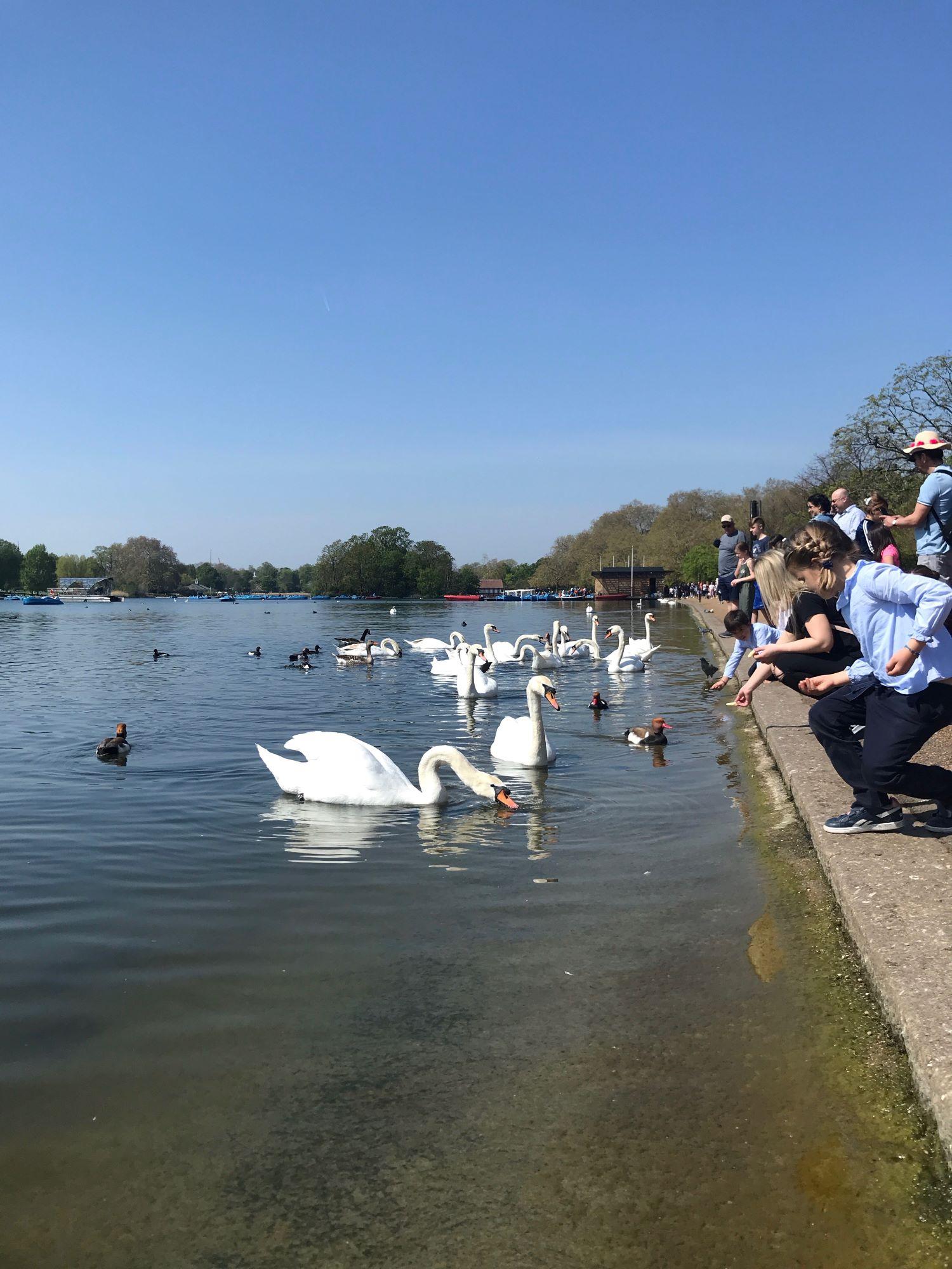 Hyde Park Swans Summer Day.JPG