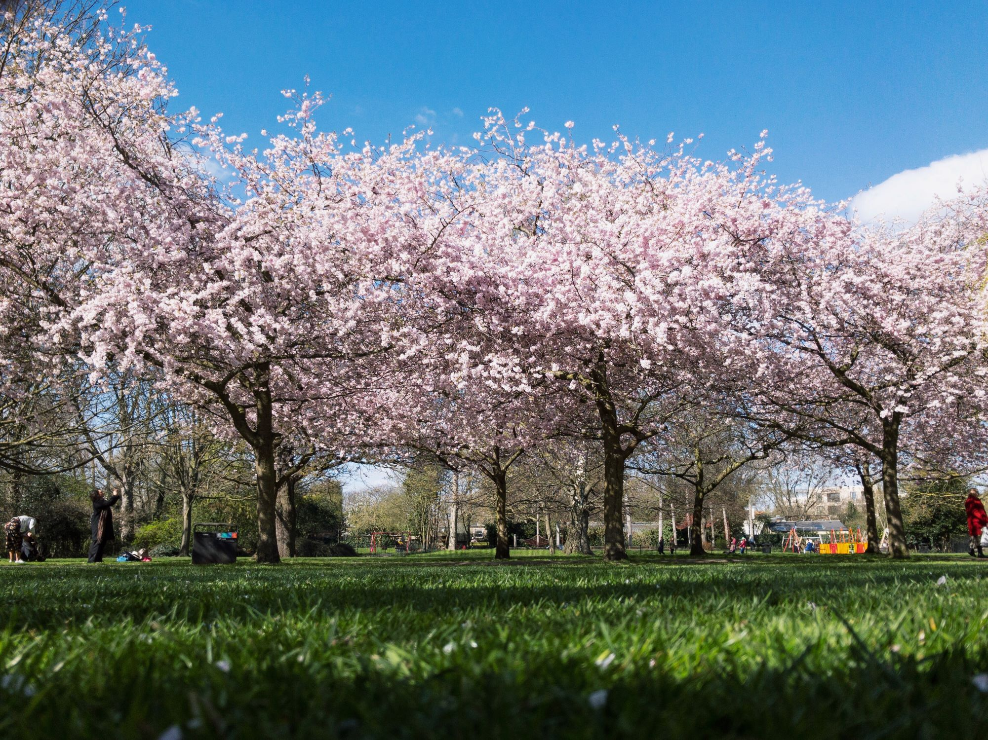 Ravenscourt Park Cherry Blossoms.JPG