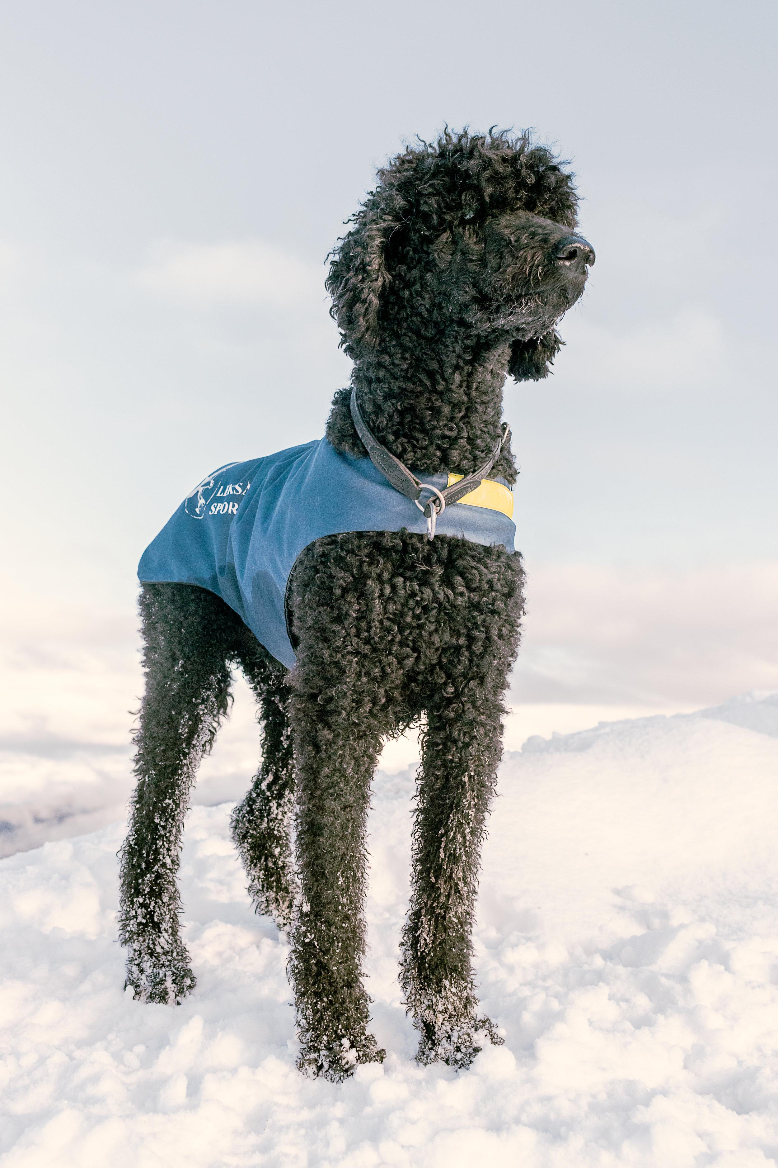 Svart hund på en snøfylt fjelltopp. landskap og portrett av dyr. søt fotografi