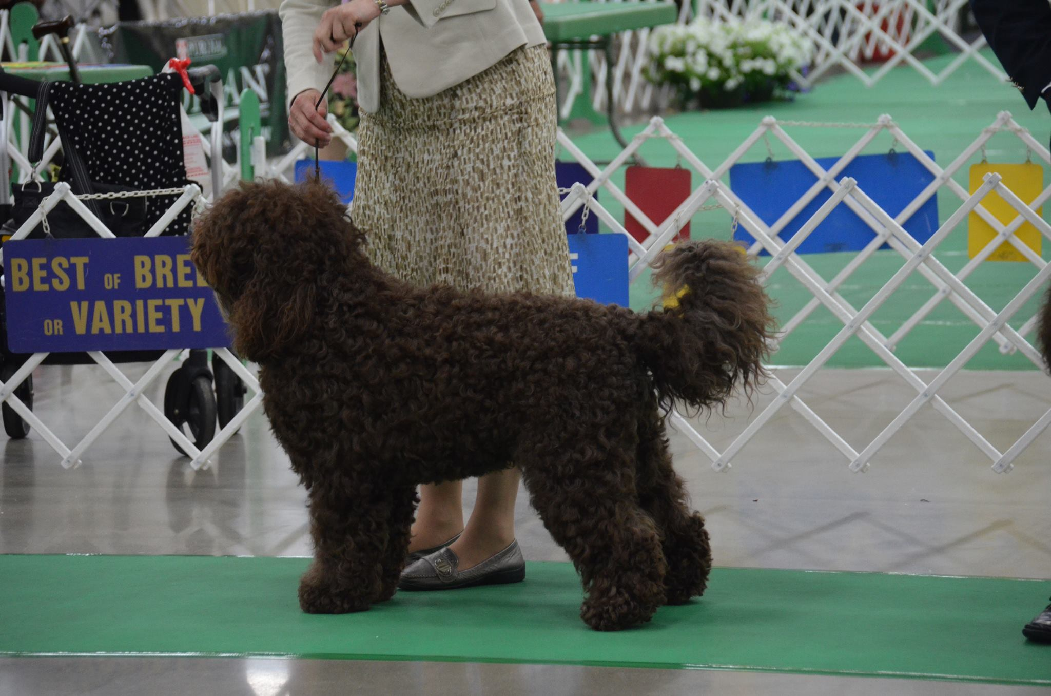 CH-Ginkgo-de-Amelia-Bric-Anum-Chara-Best-in-Show-at-our-2014-Premier-Specialty.jpg