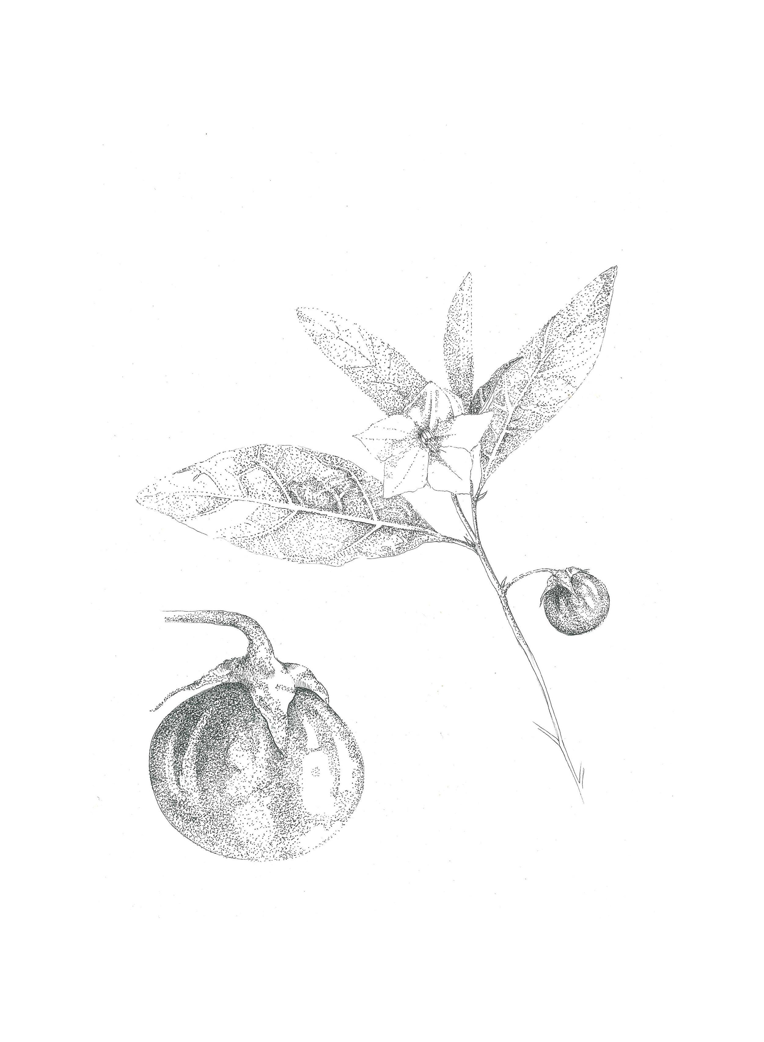 Solanum panduryorme (Poison Apple)