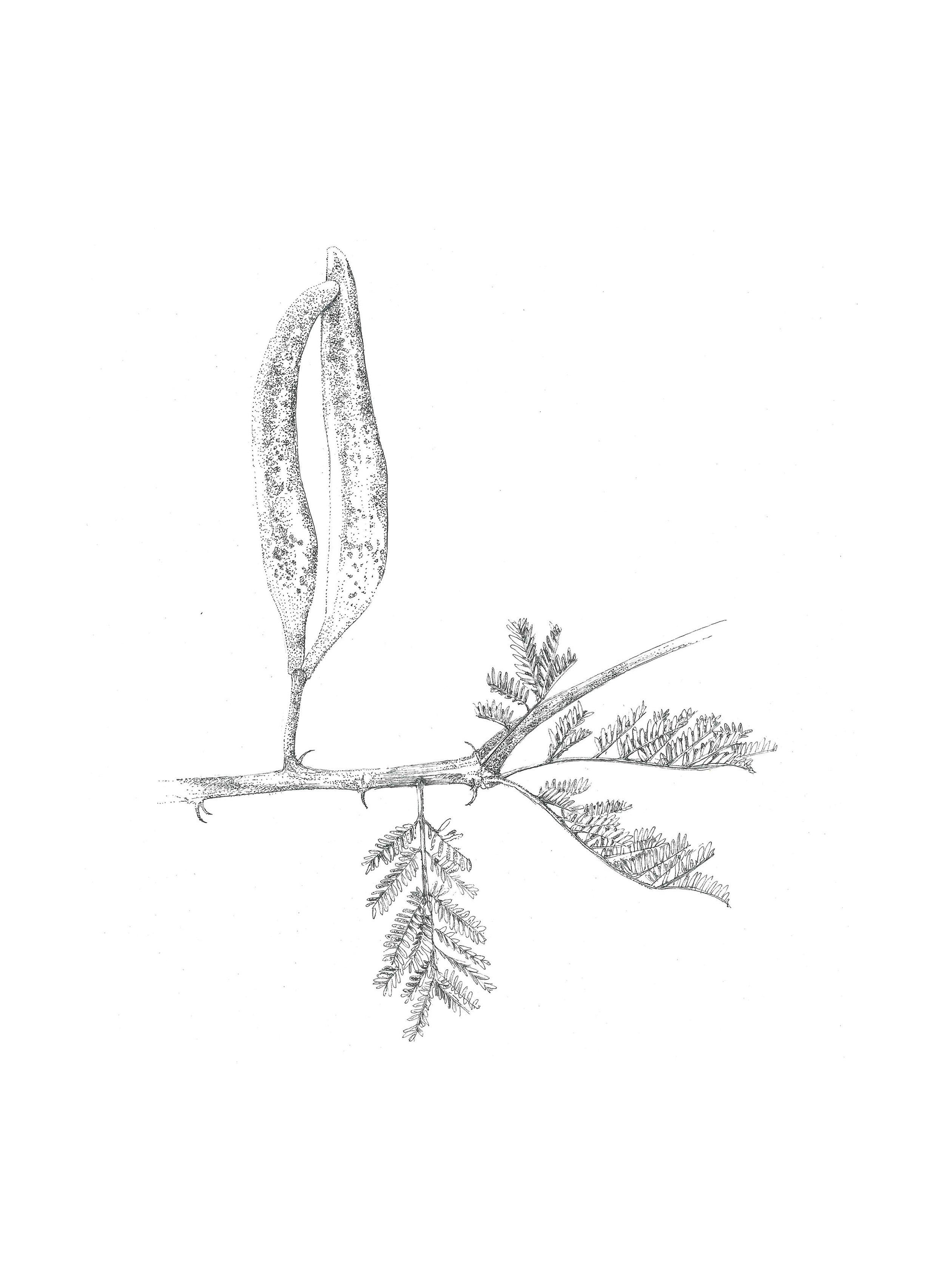 Acacia hebeclada (Candle Pod)