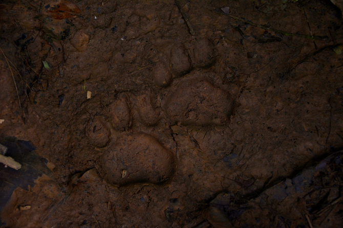 Jaguar tracks - Tambopata research station in Tambopata National Reserve