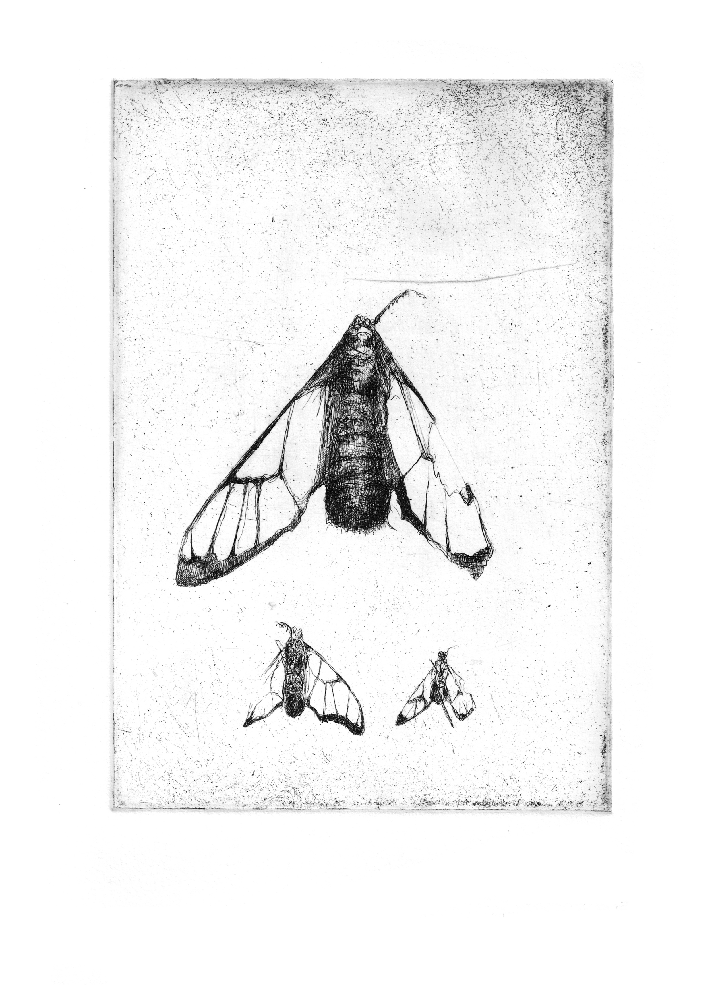 "Tiger Moth Study- Copper plate Etching8.3'""x11.7"""