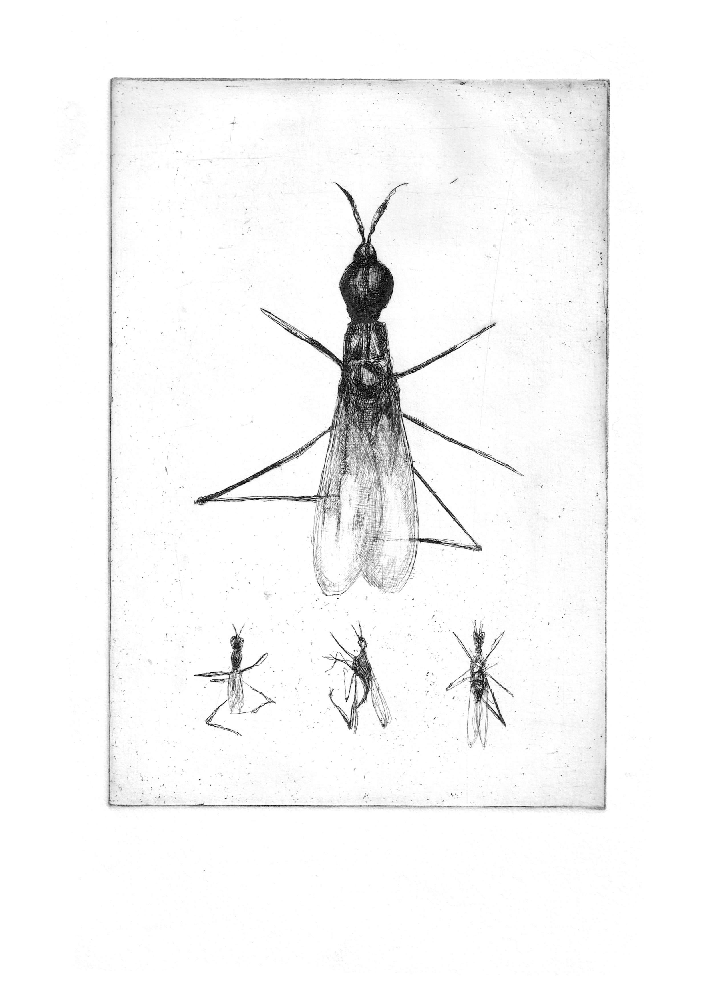 "Fly Study- Copper plate Etching8.3'""x11.7"""