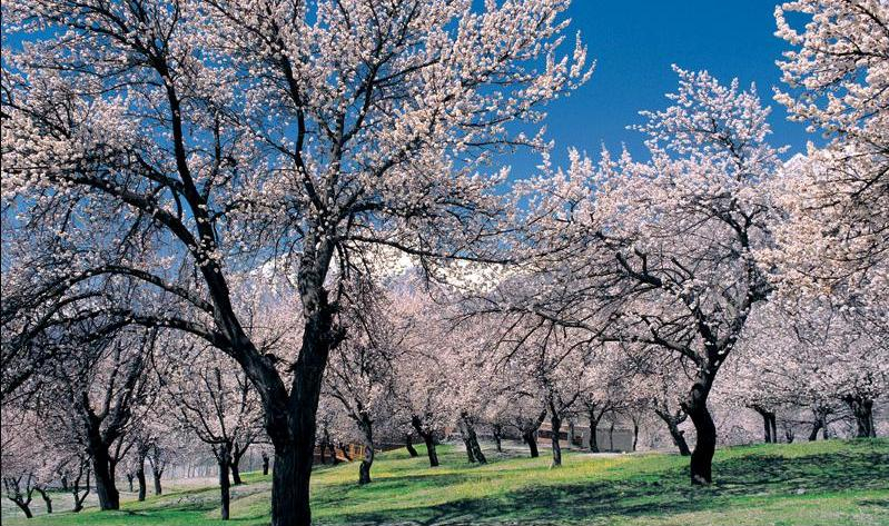 Cherry Blossoms in Upper Kachula.jpg