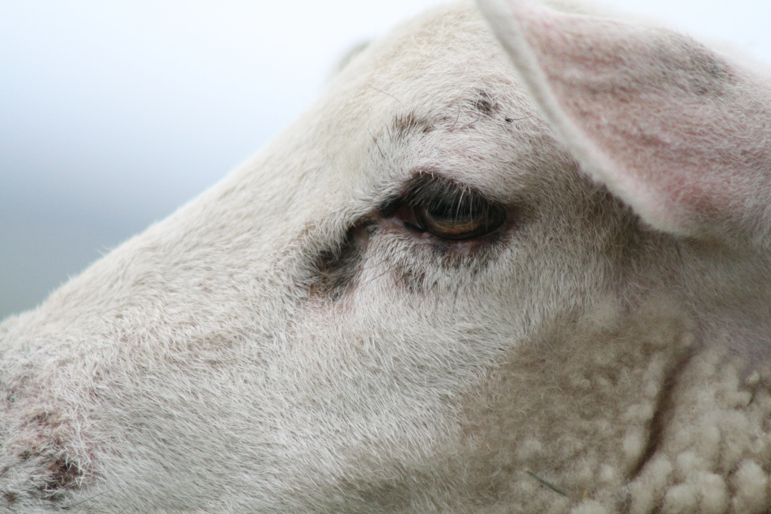 why-conserve-avoid-animal-consumption-sheep