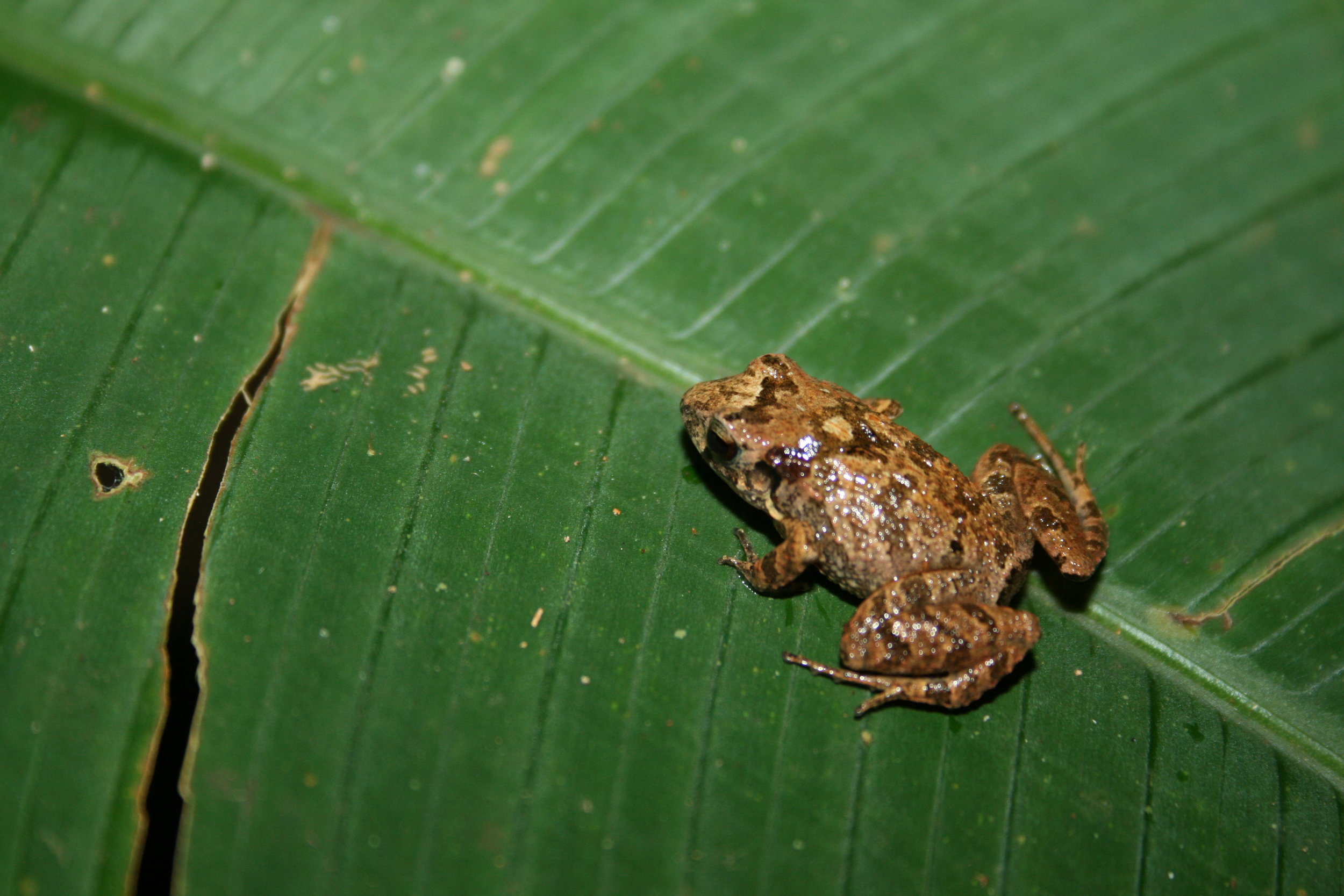 small brown frog on green leaf