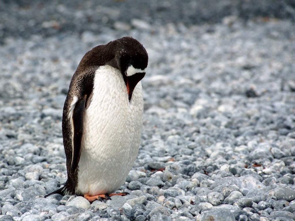 The Adélie penguin  (Pygoscelis adeliae) is a species of penguin common along the entire Antarctic coast, which is their only residence. (Photo: Teodor Bjerrang)