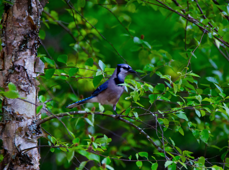 Blue Jay (2).jpg