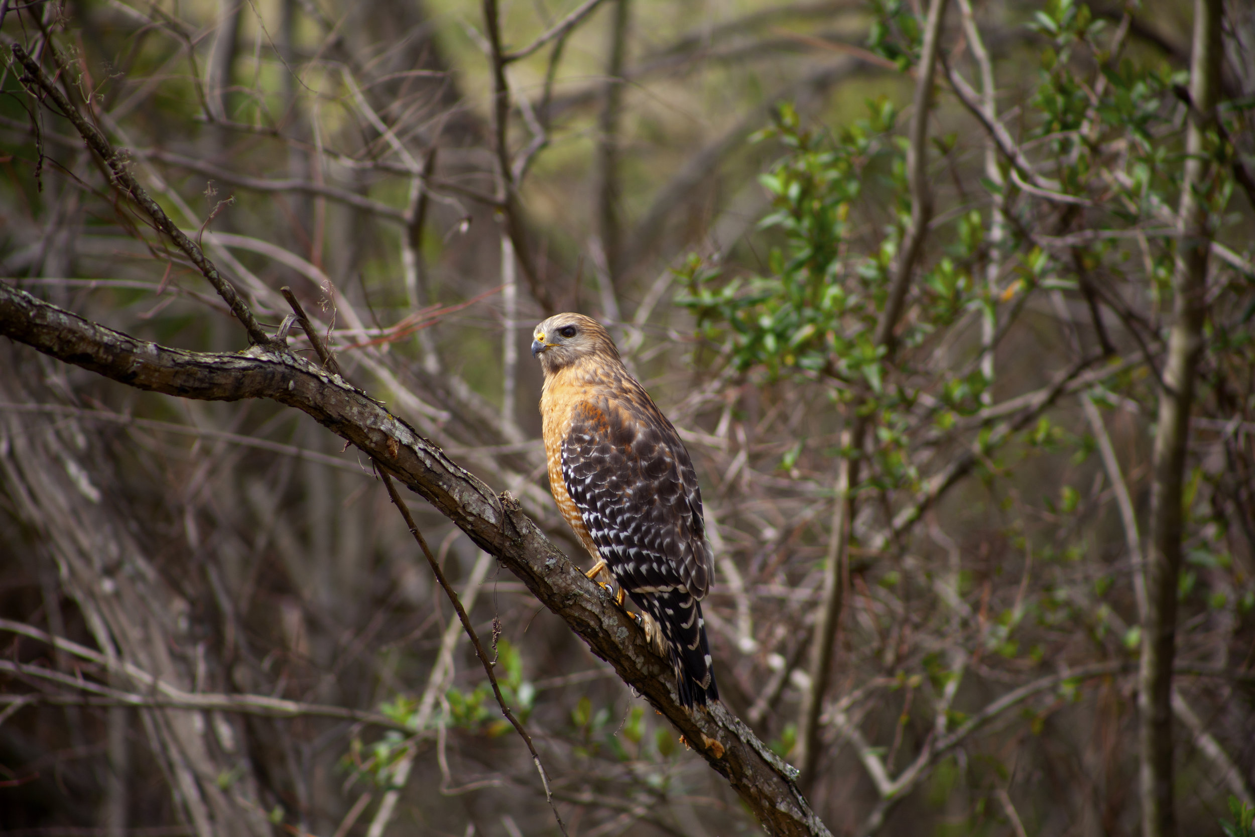 Red Shouldered Hawk -  Shot quite literally from my doorstep, very lucky to have a little creek right near my apartment. I looked up from cleaning my car and spotted this magnificent bird hanging out on a branch. Ran in to grab my camera and started shooting. Really happy with how this came out.