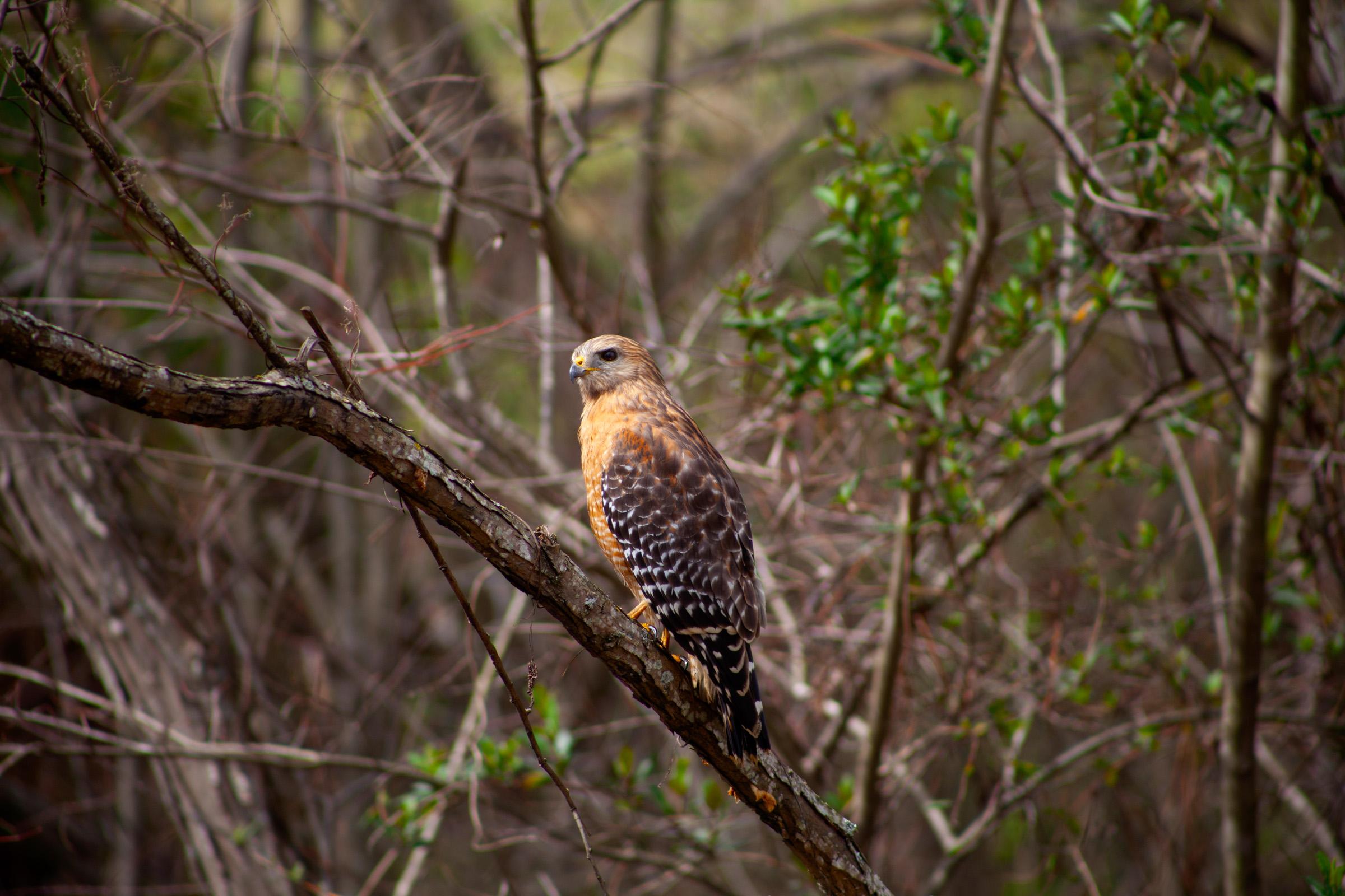 Red Shouldered Hawk - Click for more images