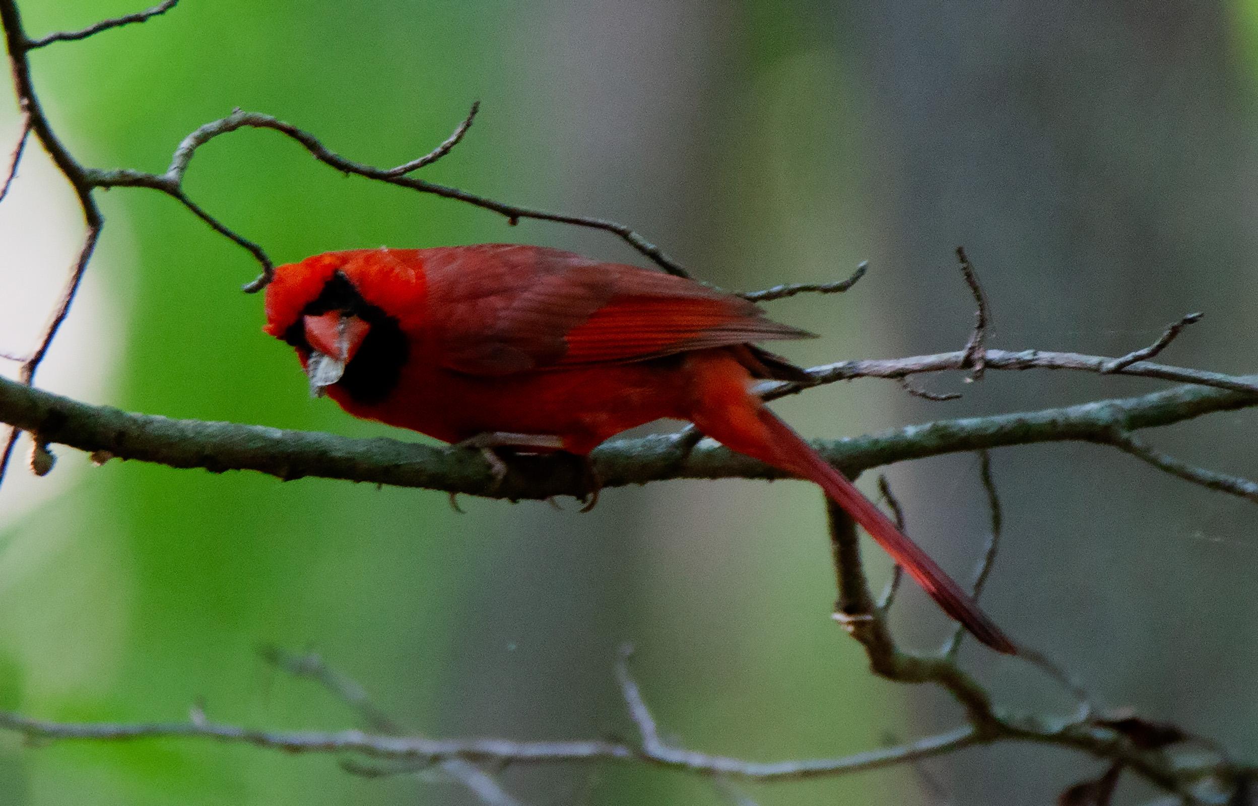 Male cardinal eating bug.jpg