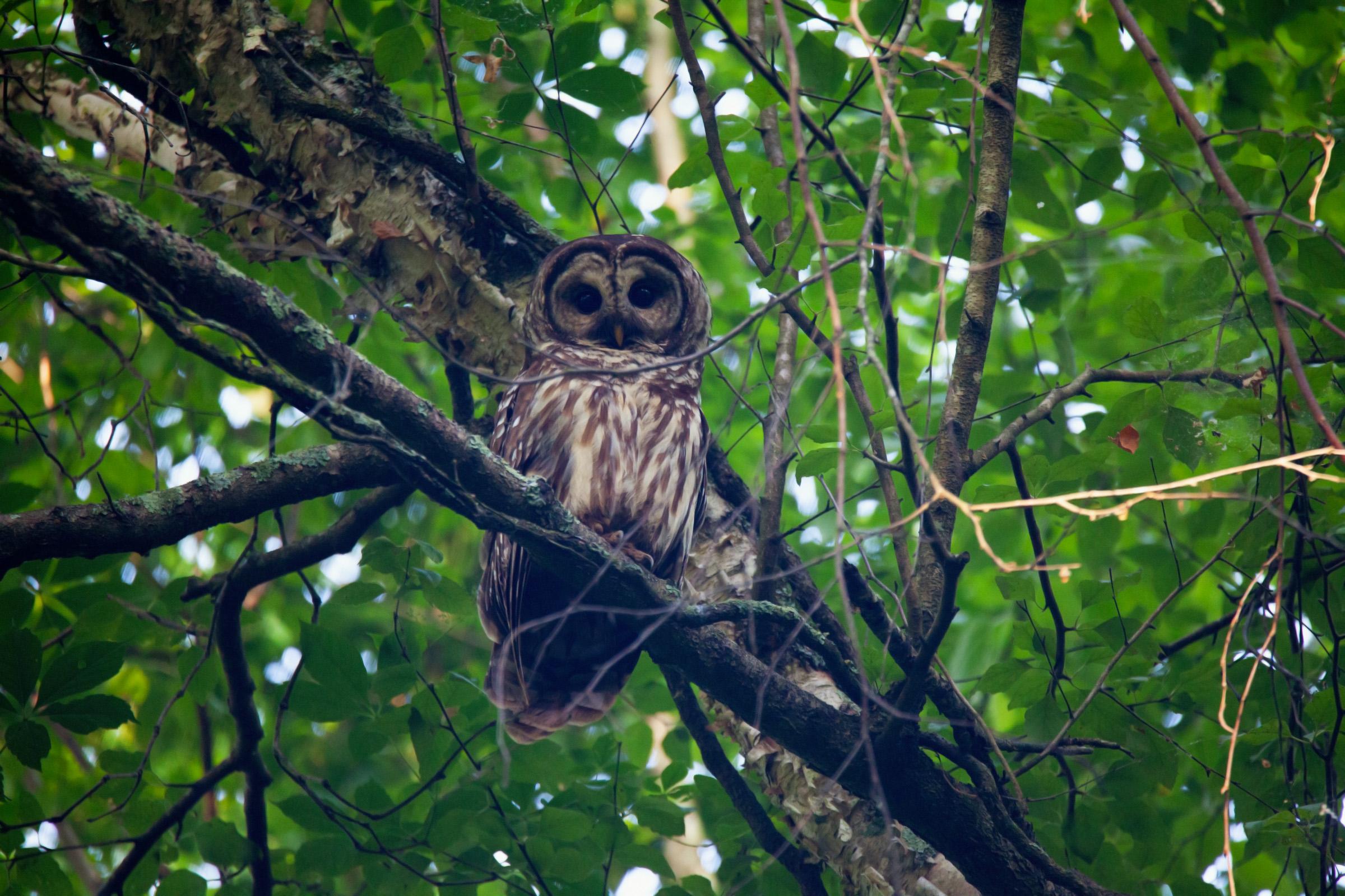 Adult Barred Owl.jpg