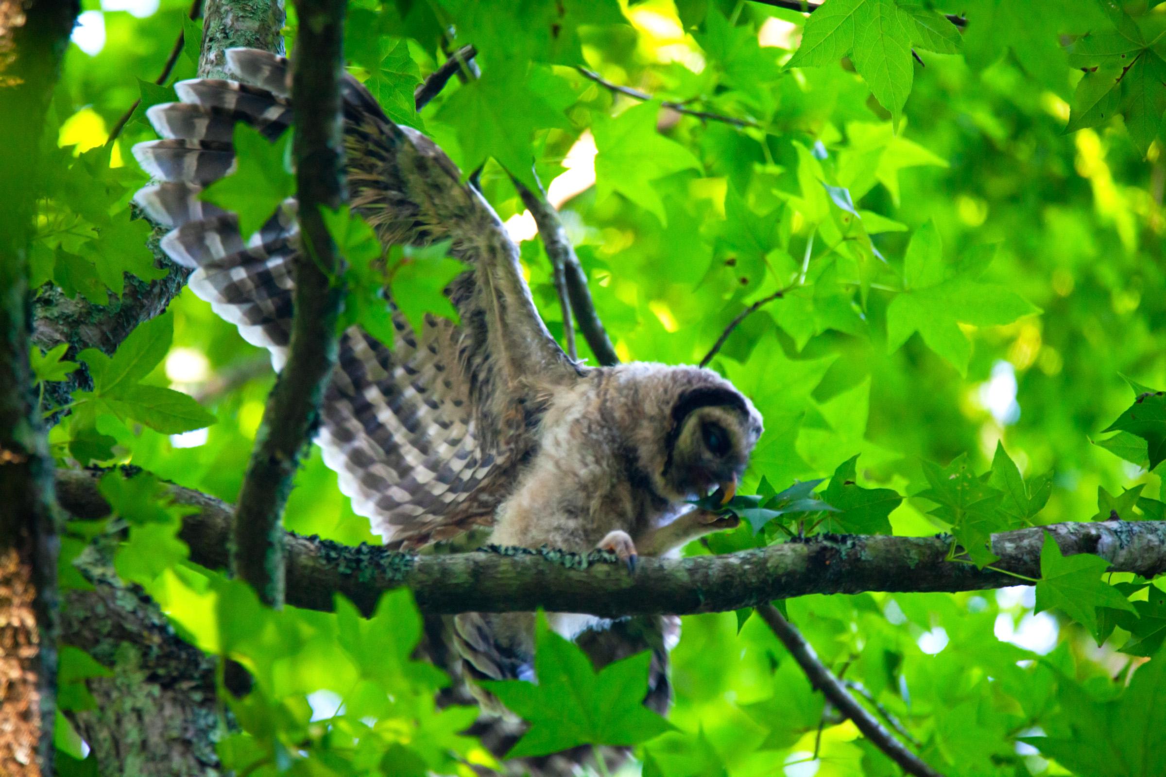 Owl wings spread.jpg