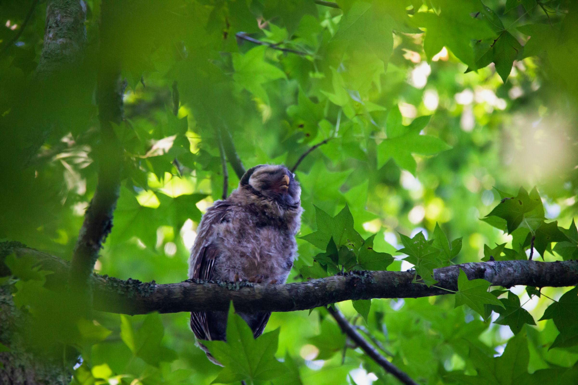 Owl squeal.jpg