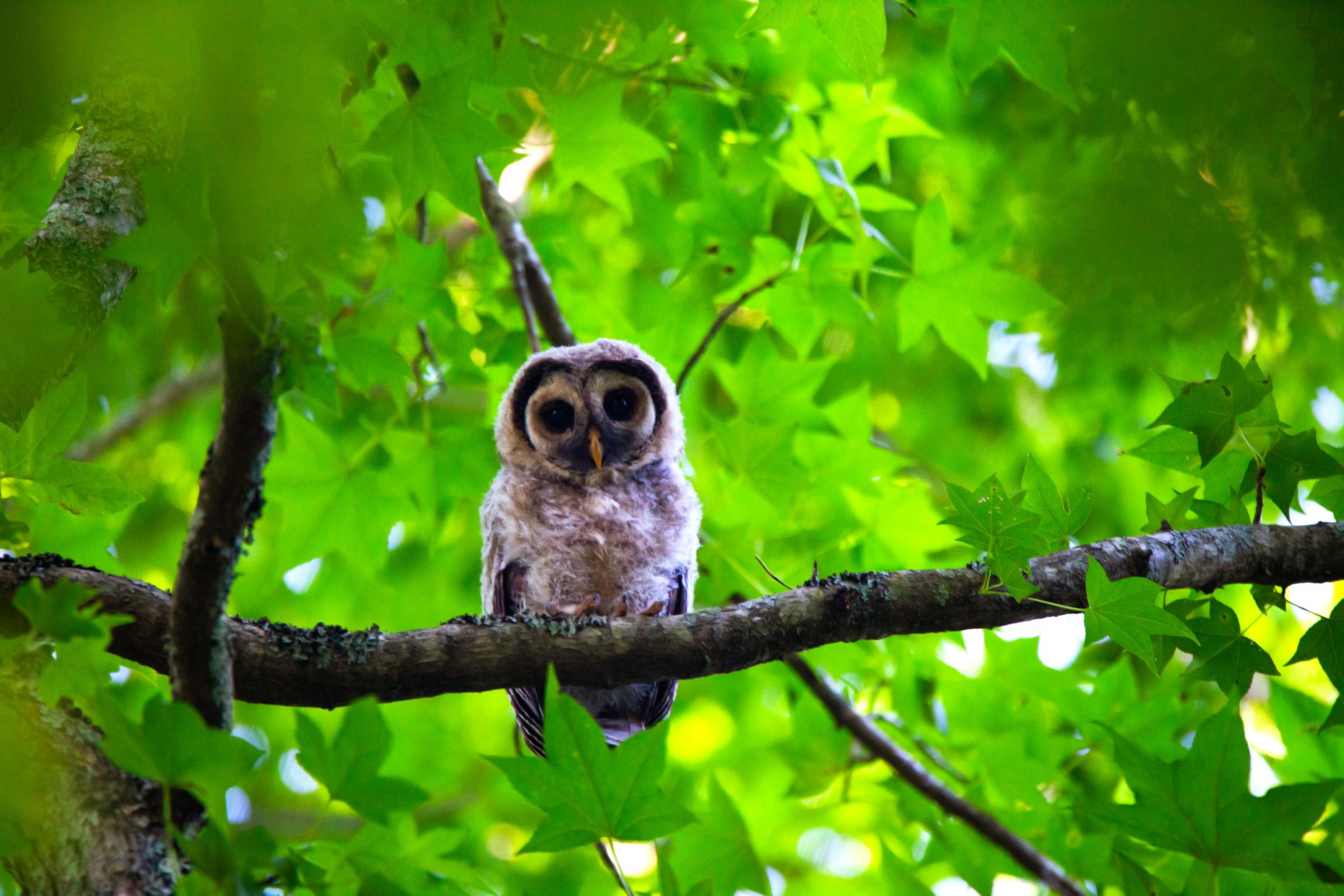 Owl looking.jpg