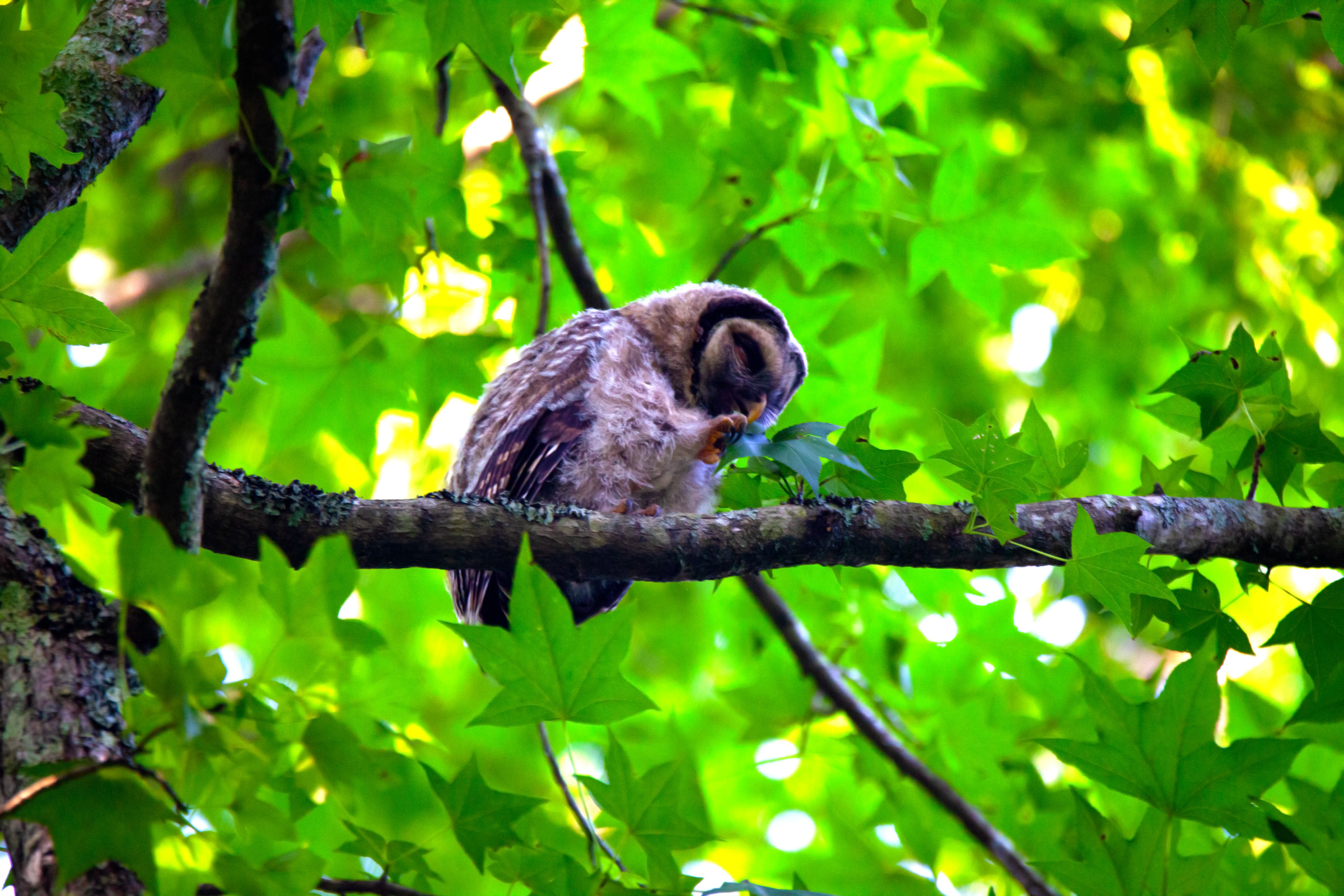 Owl leaf.jpg