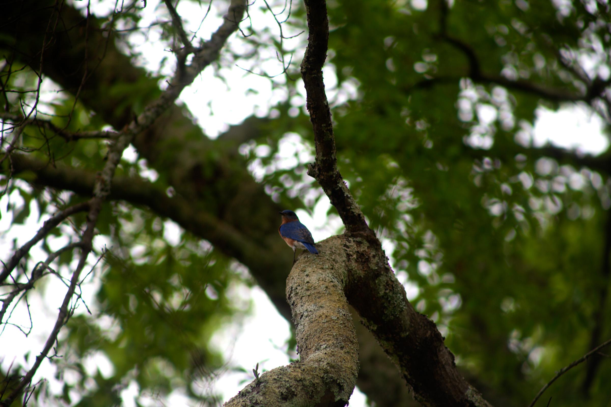 Eastern Bluebird 2.jpg