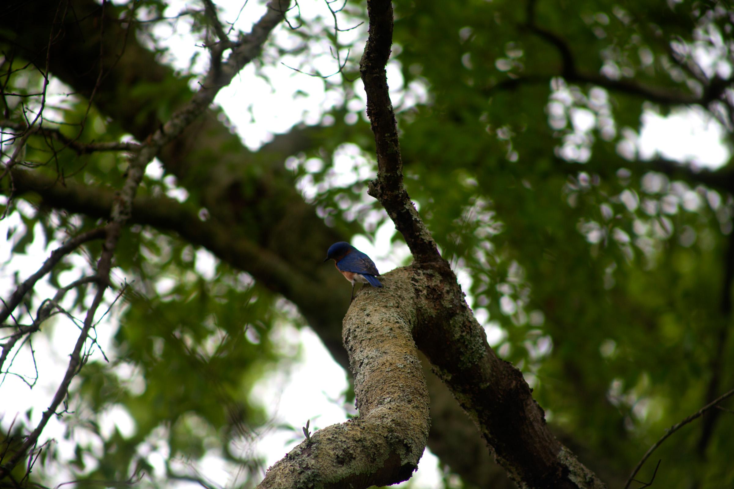 Eastern Bluebird 3.jpg