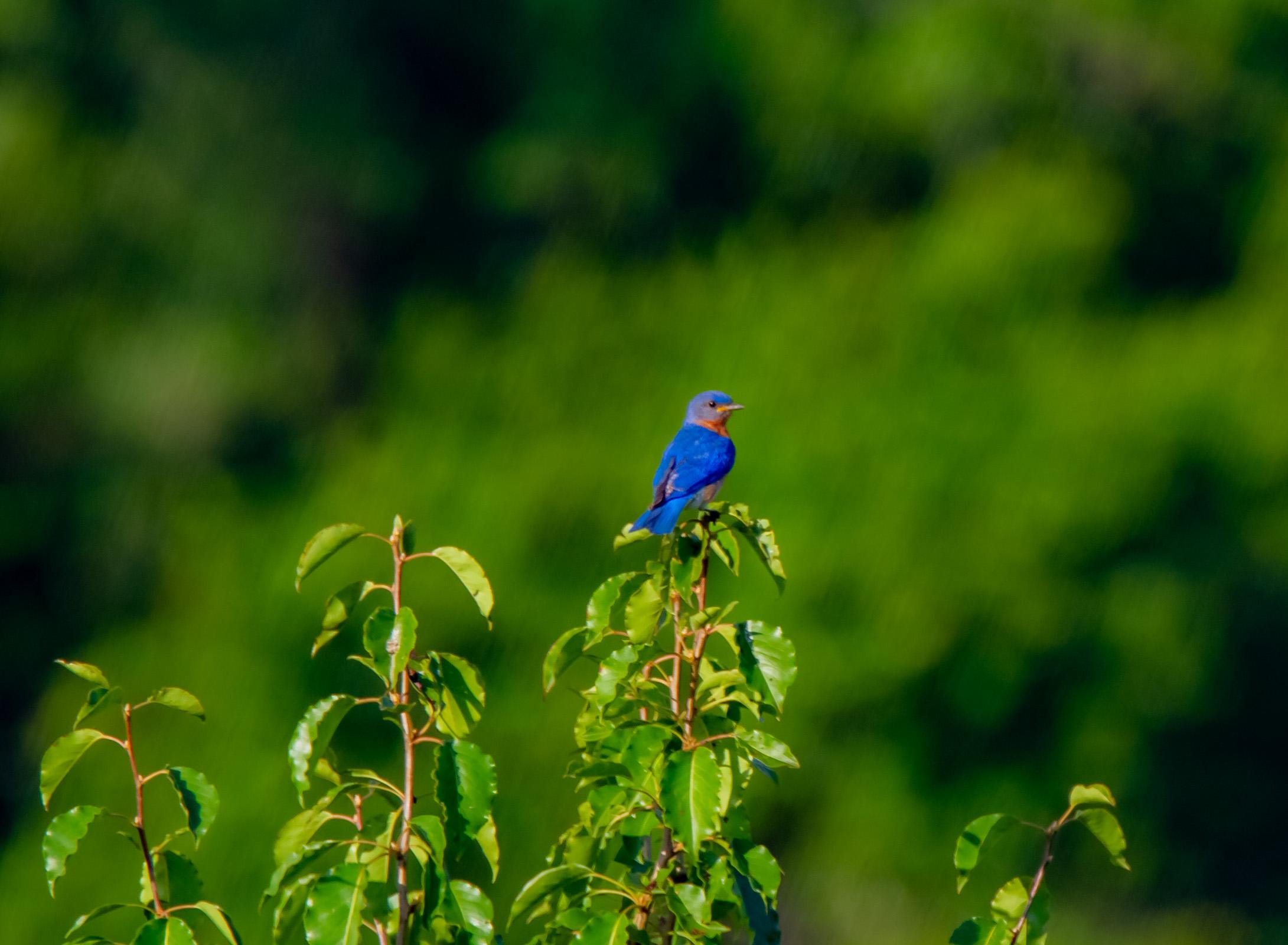 Eastern Bluebird 7-4-19
