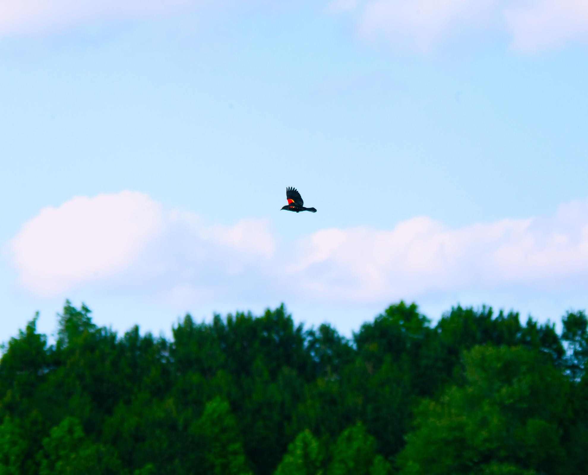 Black Bird red back flight.jpg
