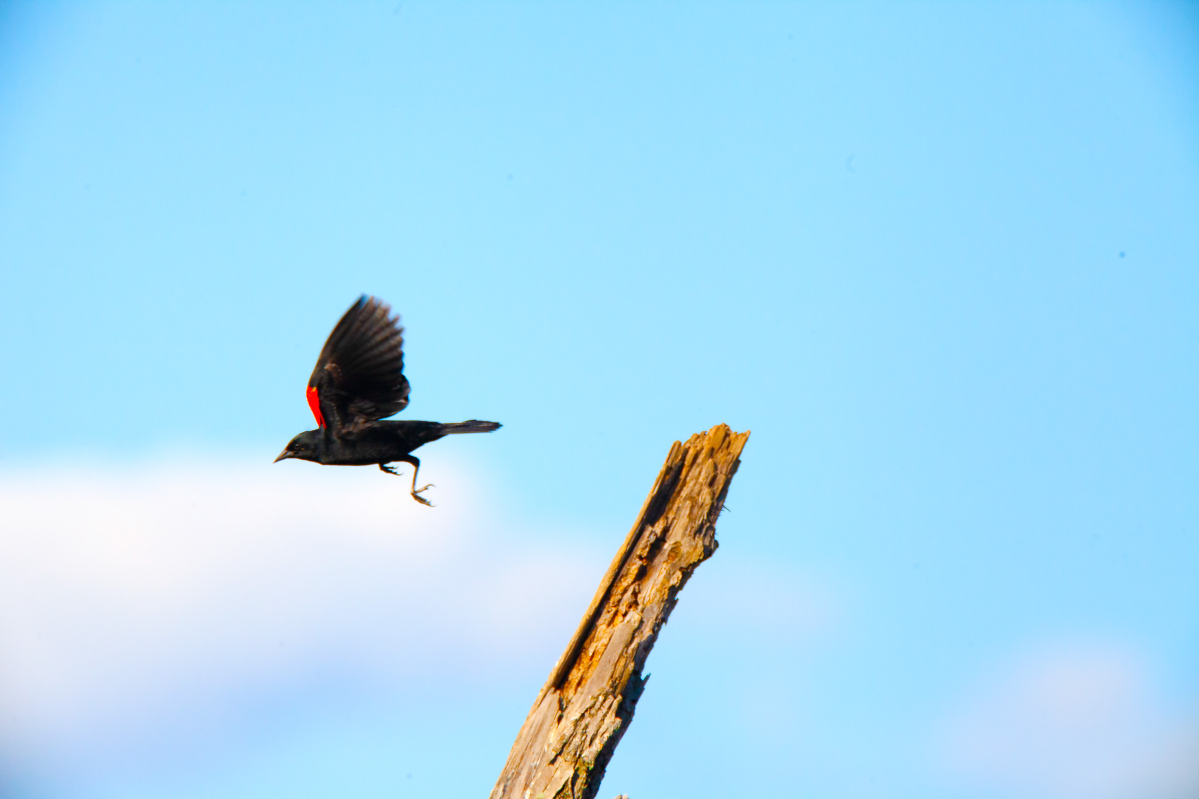 Black bird red back taking off.jpg