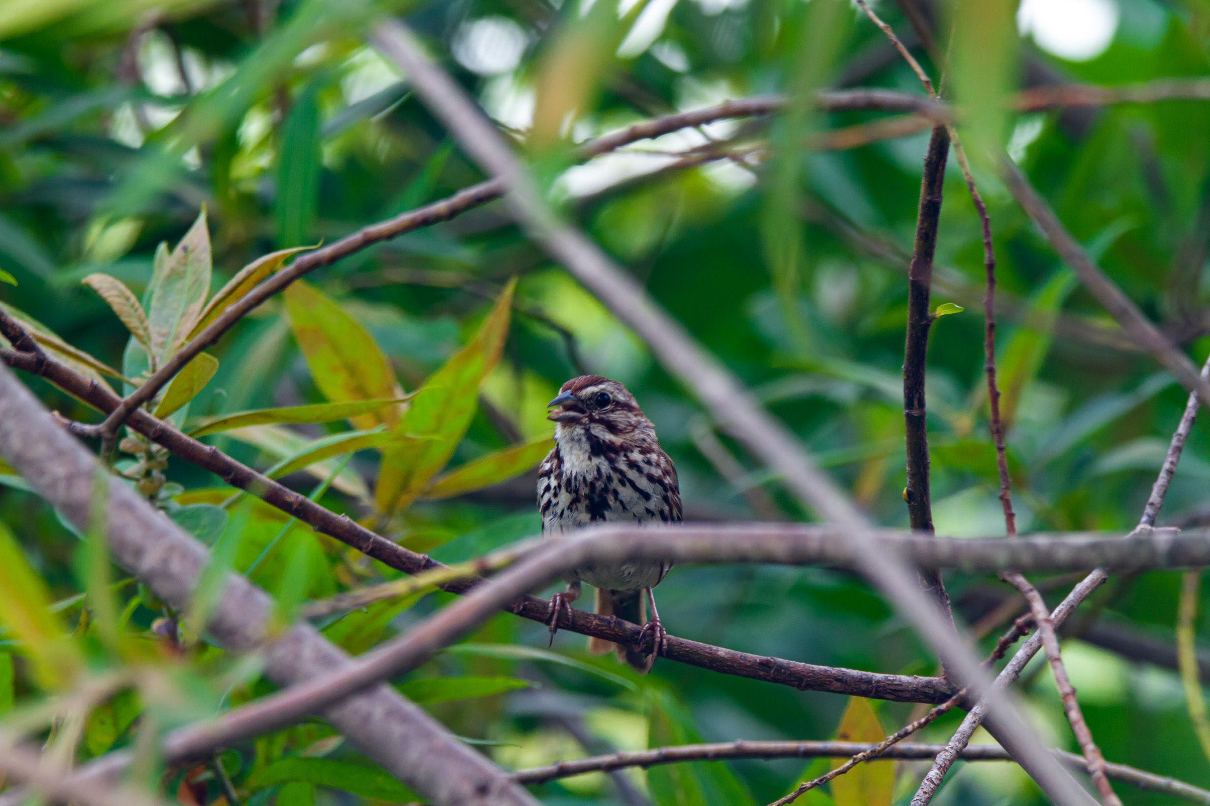 Eastern Song Sparrow -