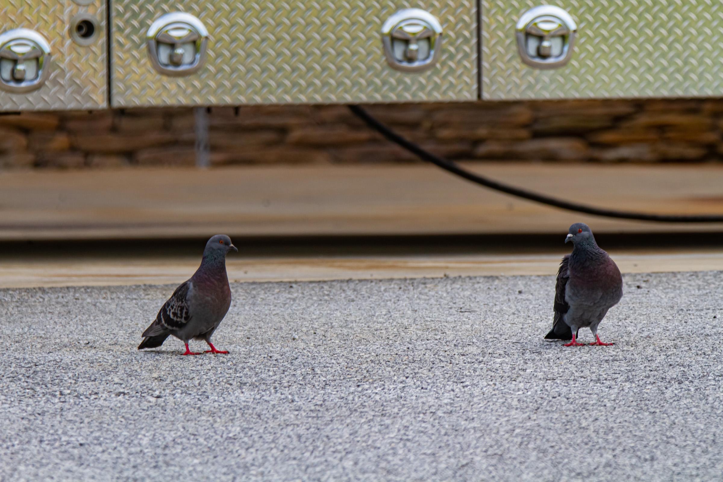 Rock Pigeon -