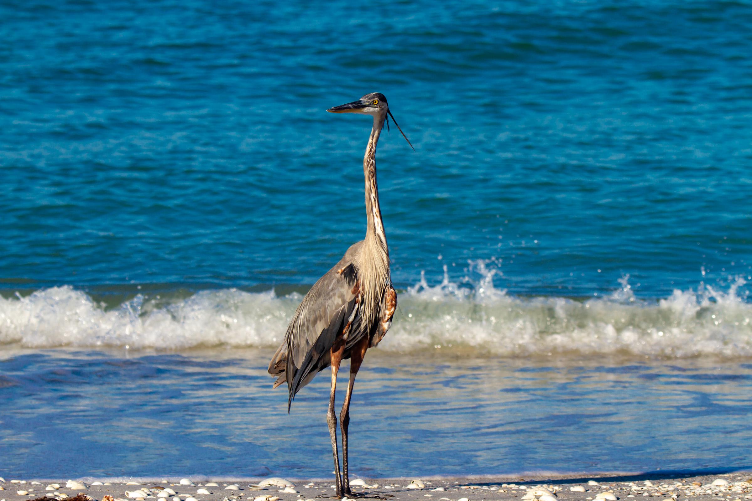 Beach Heron full body