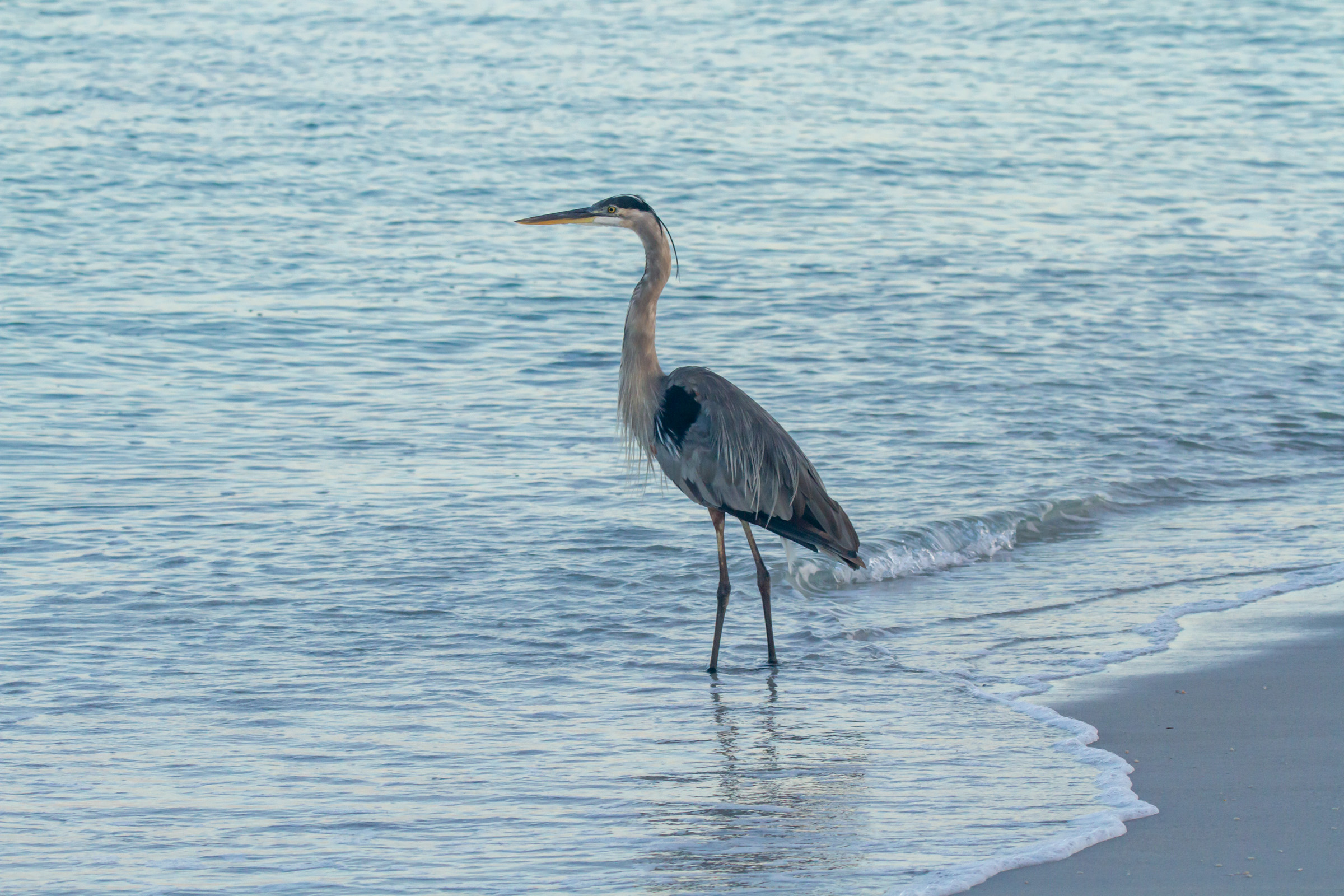Blue Heron Beach Water Full Body