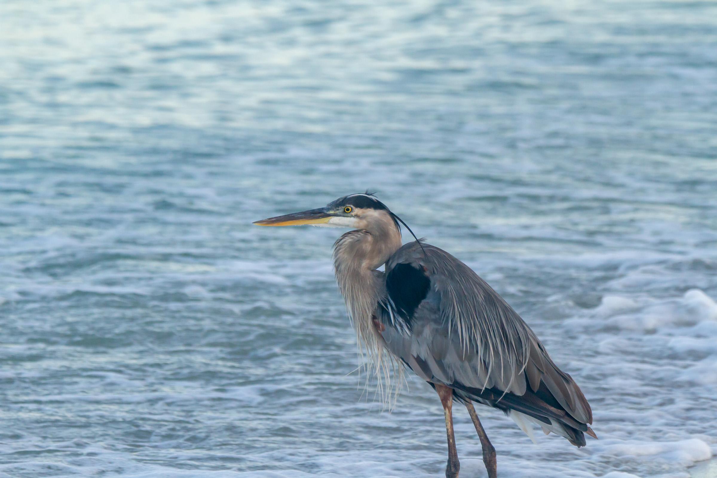 Blue Heron Beach Portrait