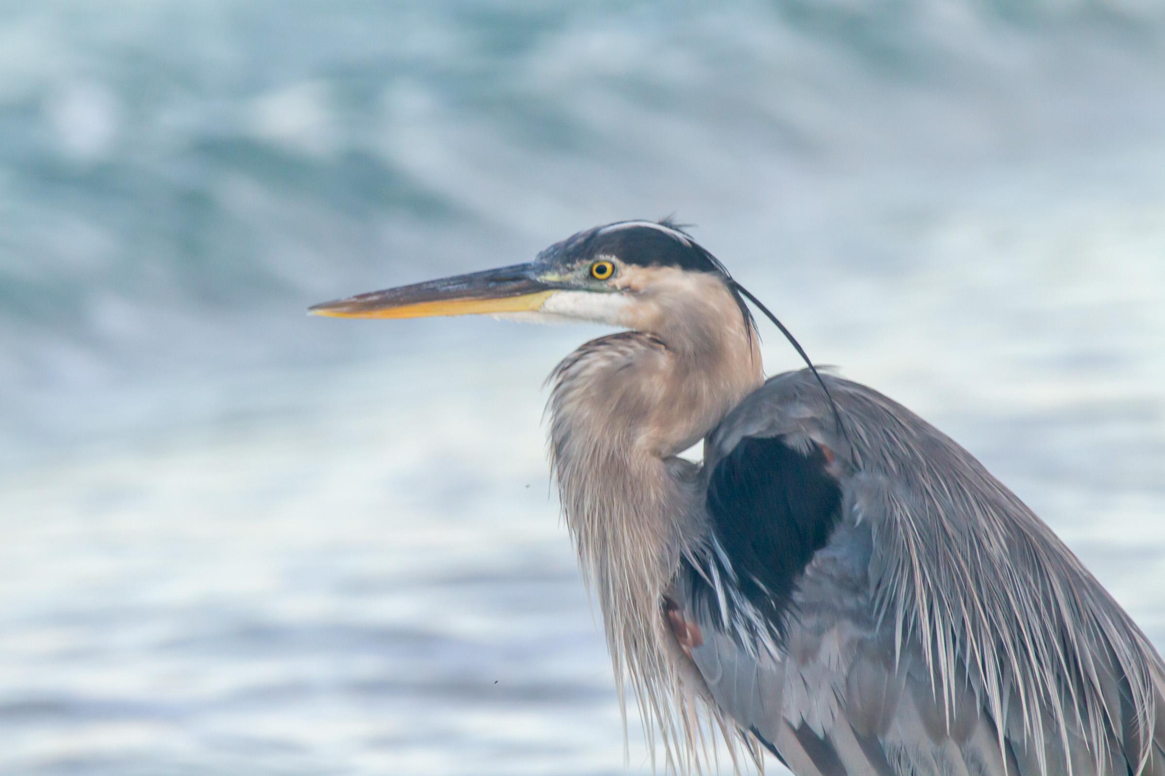 Blue heron Beach Headshot