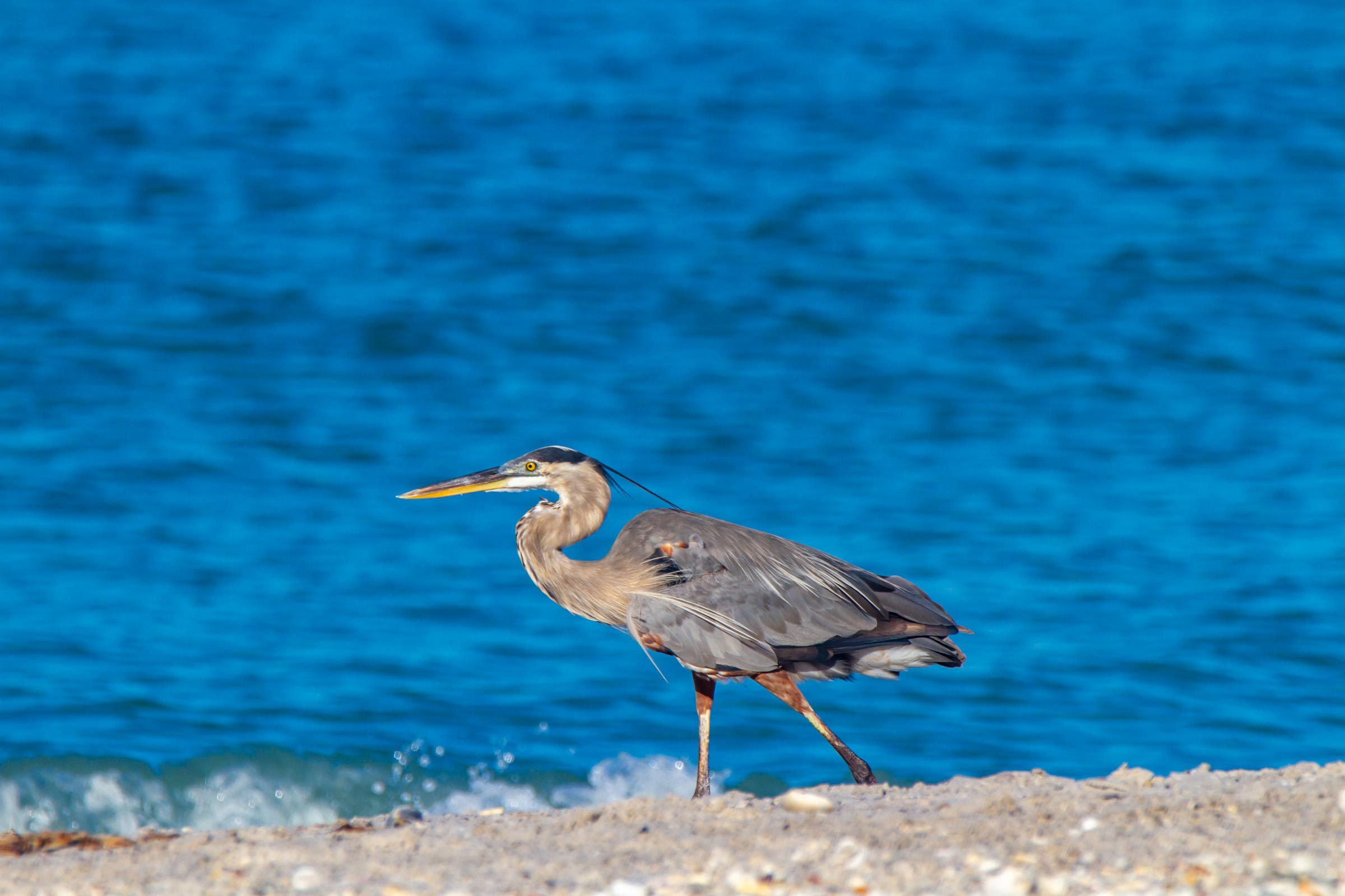Blue Heron Beach Walking